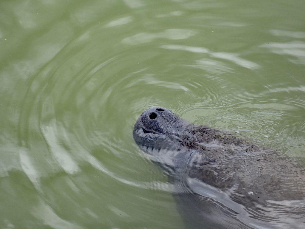 Manat, Everglades, Floryda