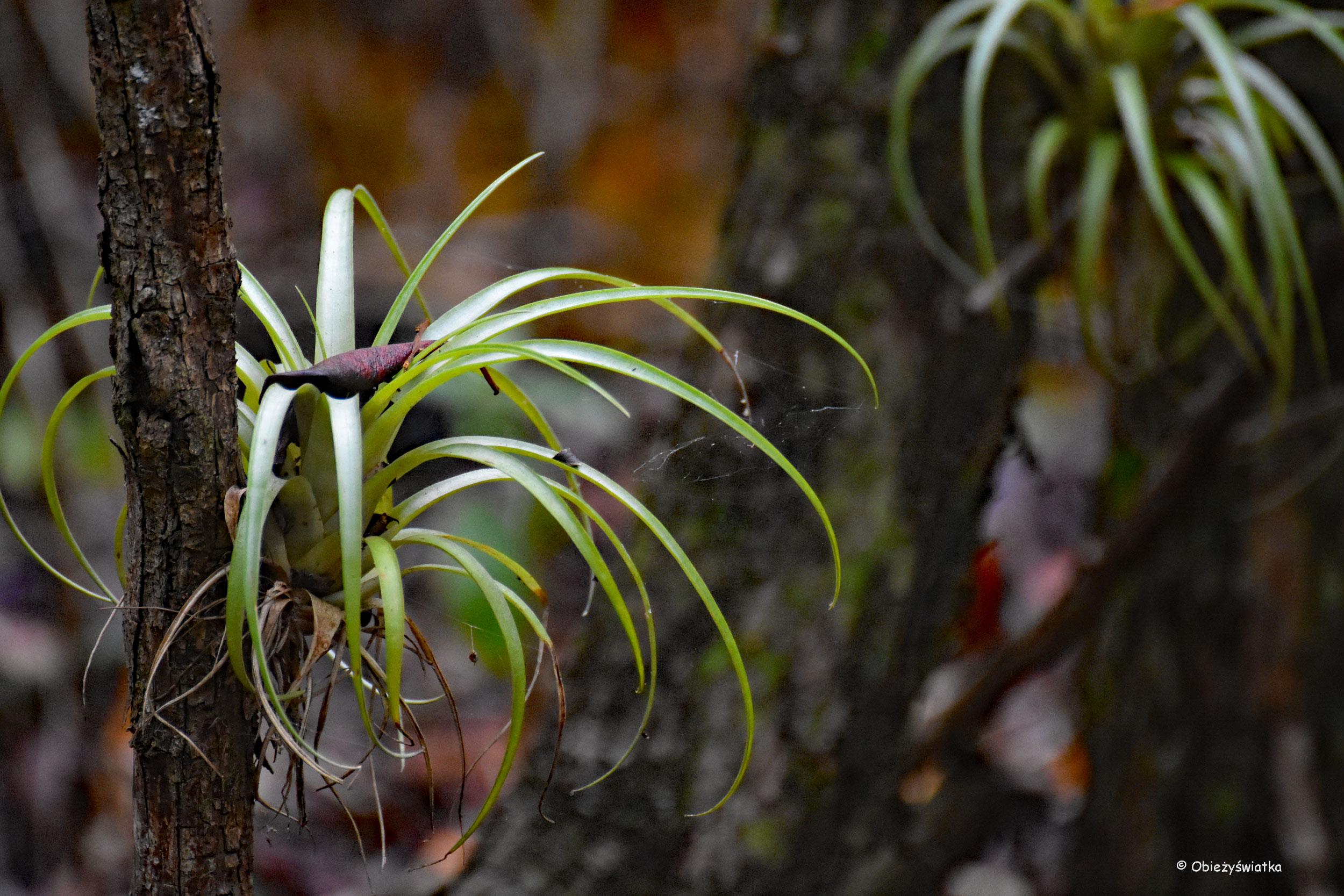 Mangrowia, Everglades, Floryda