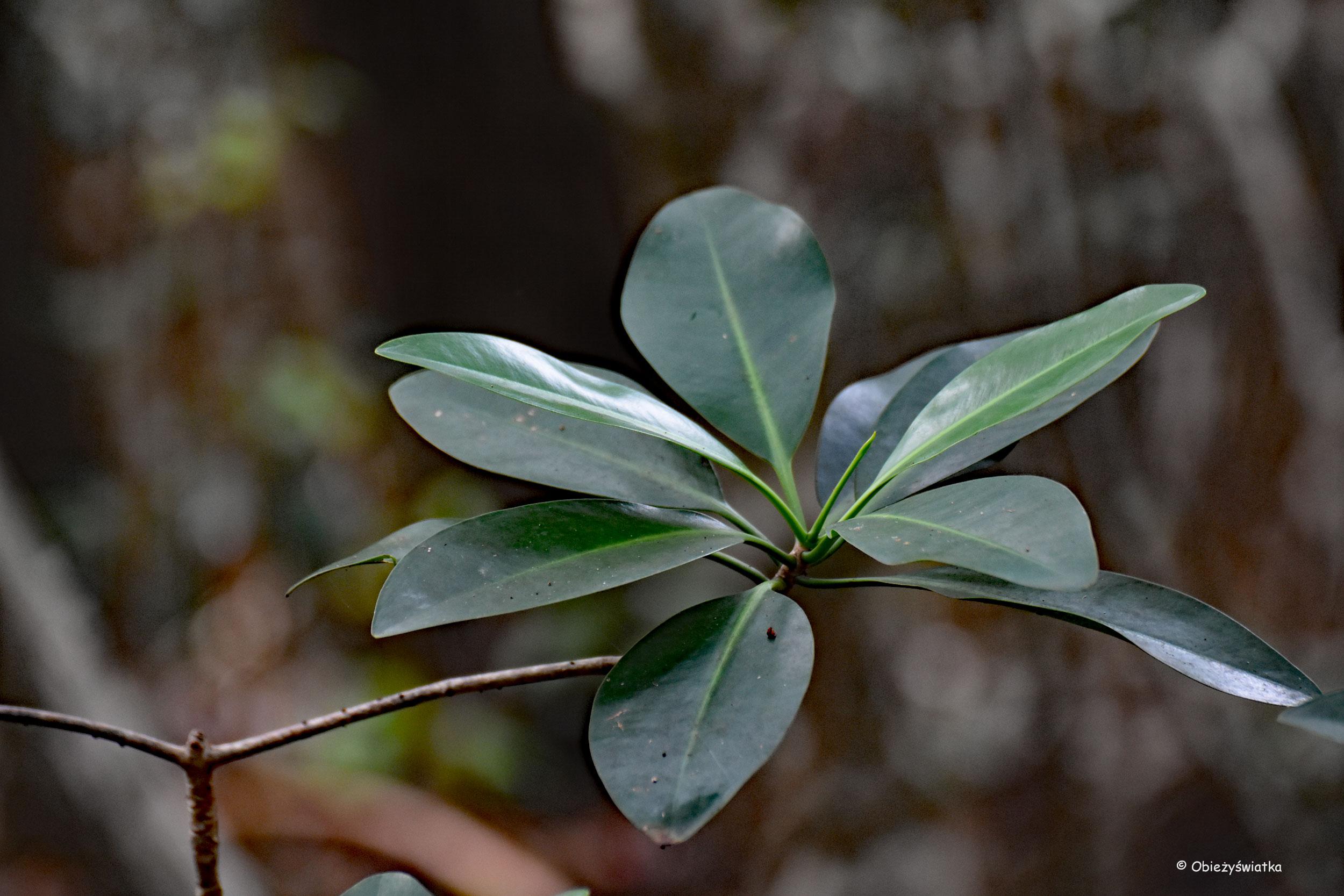 Mangrowia - namorzyny, Everglades, Floryda