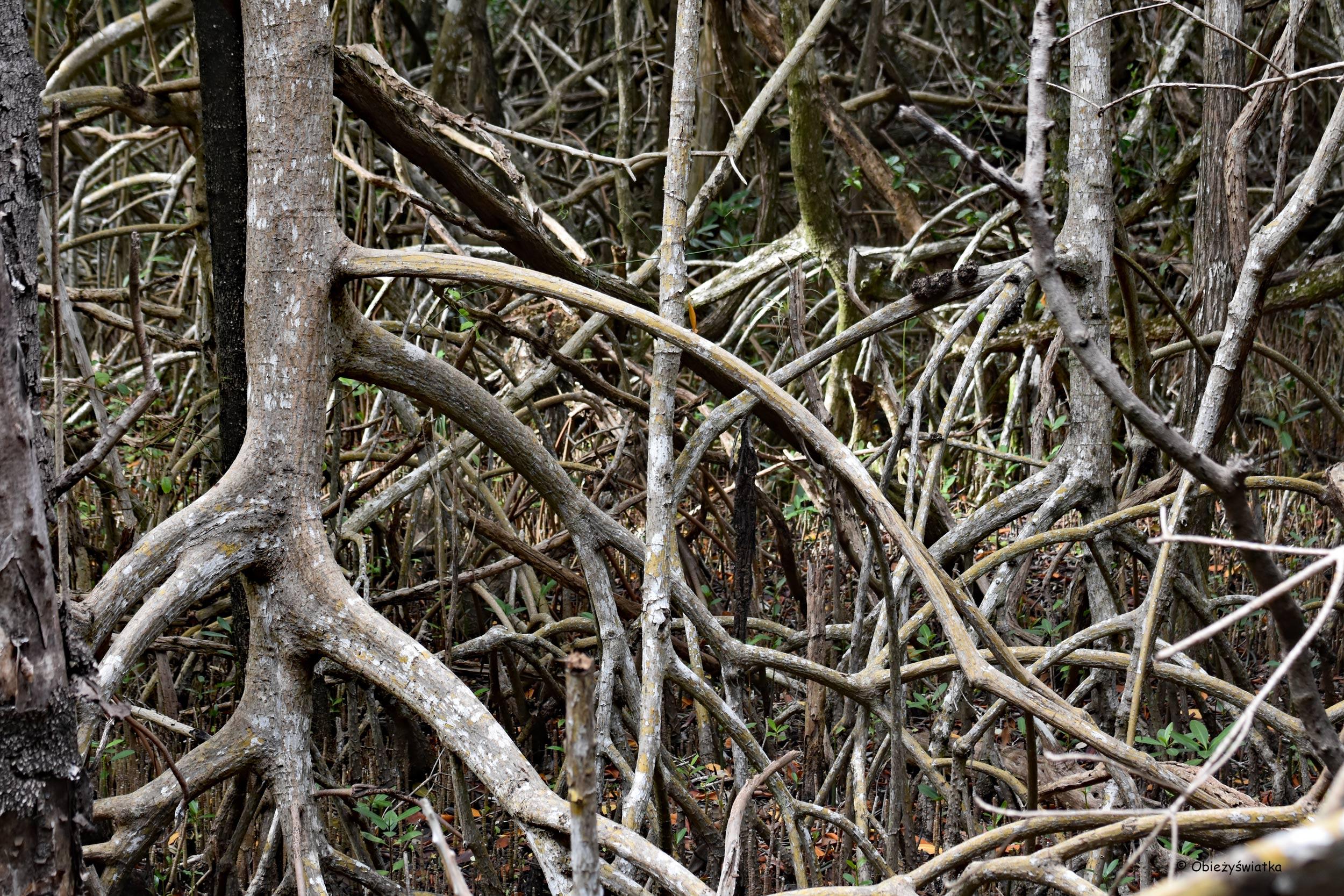 Mangrowia - lasy namorzynowe, Everglades, Floryda