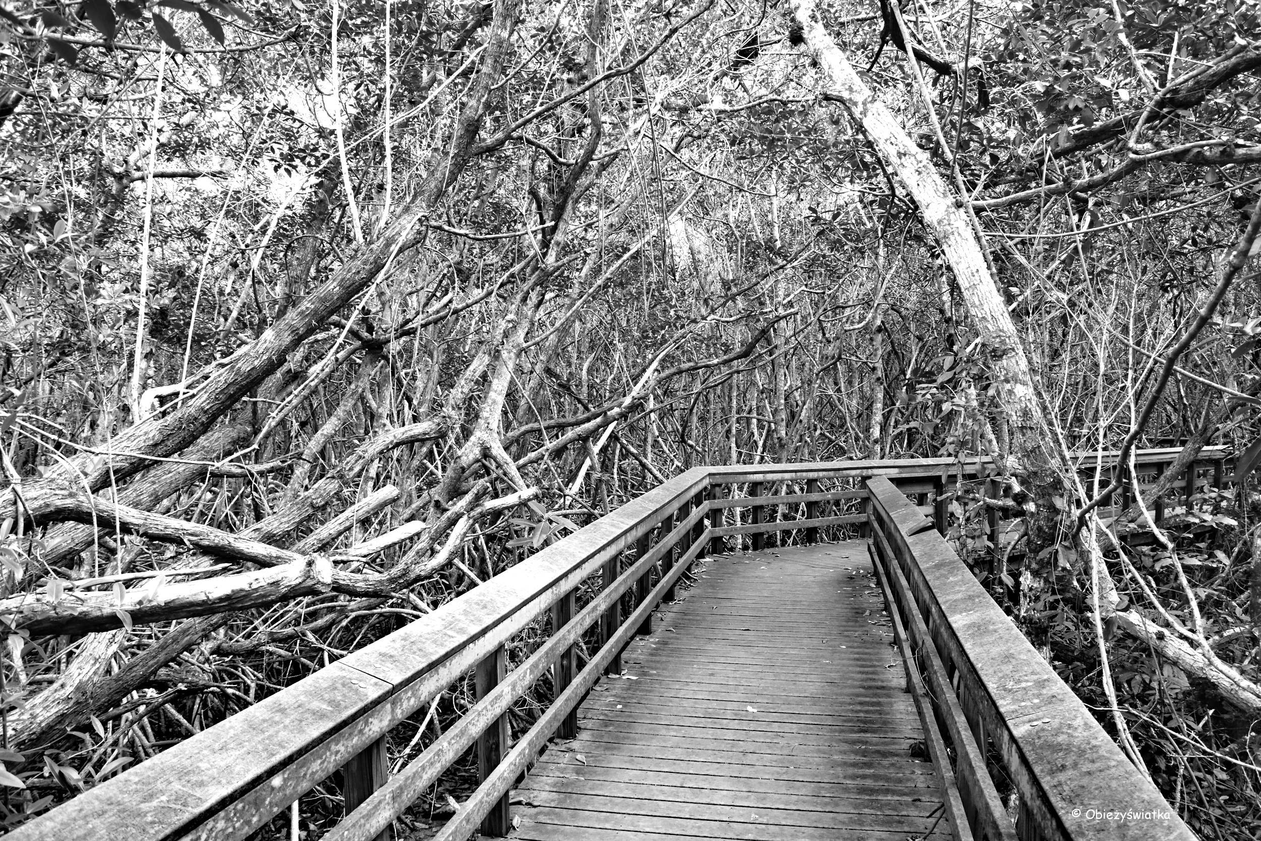 Mangrowia, czyli lasy namorzynowe, Everglades, Floryda