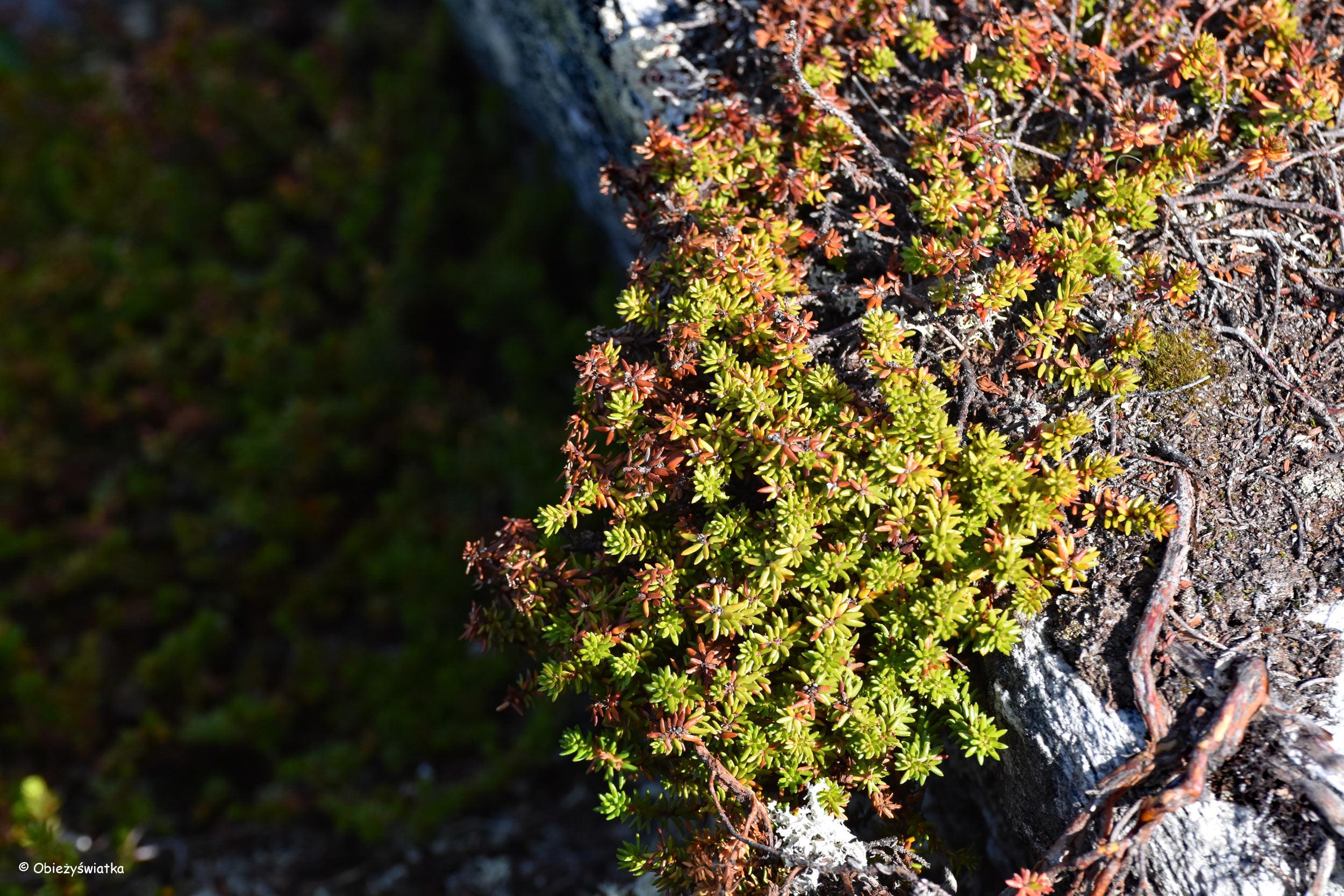 Miękkość mchu pod palcami - Gamle Strynefjellsvegen, Norwegia