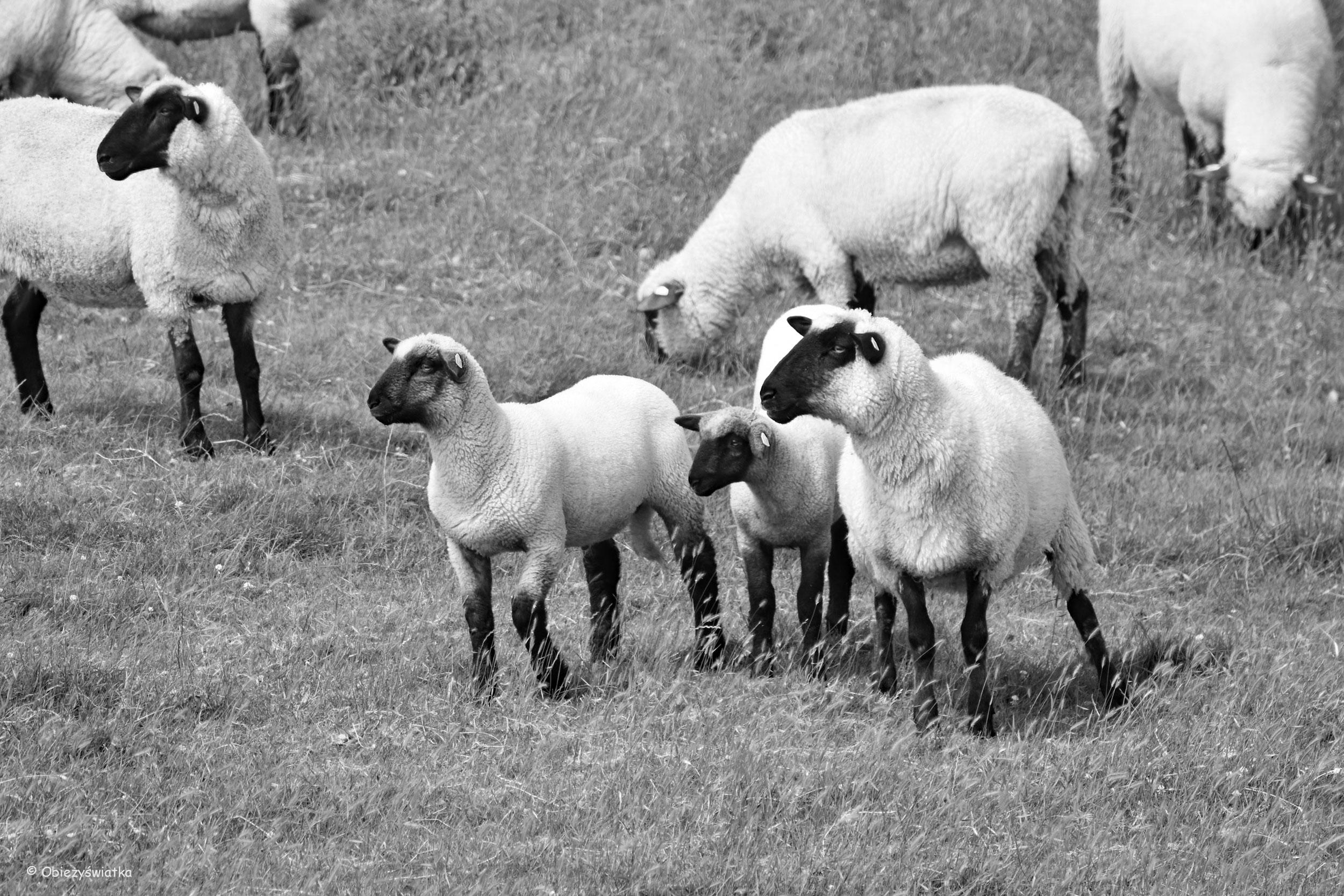 Owieczki nad Morzem Północnym