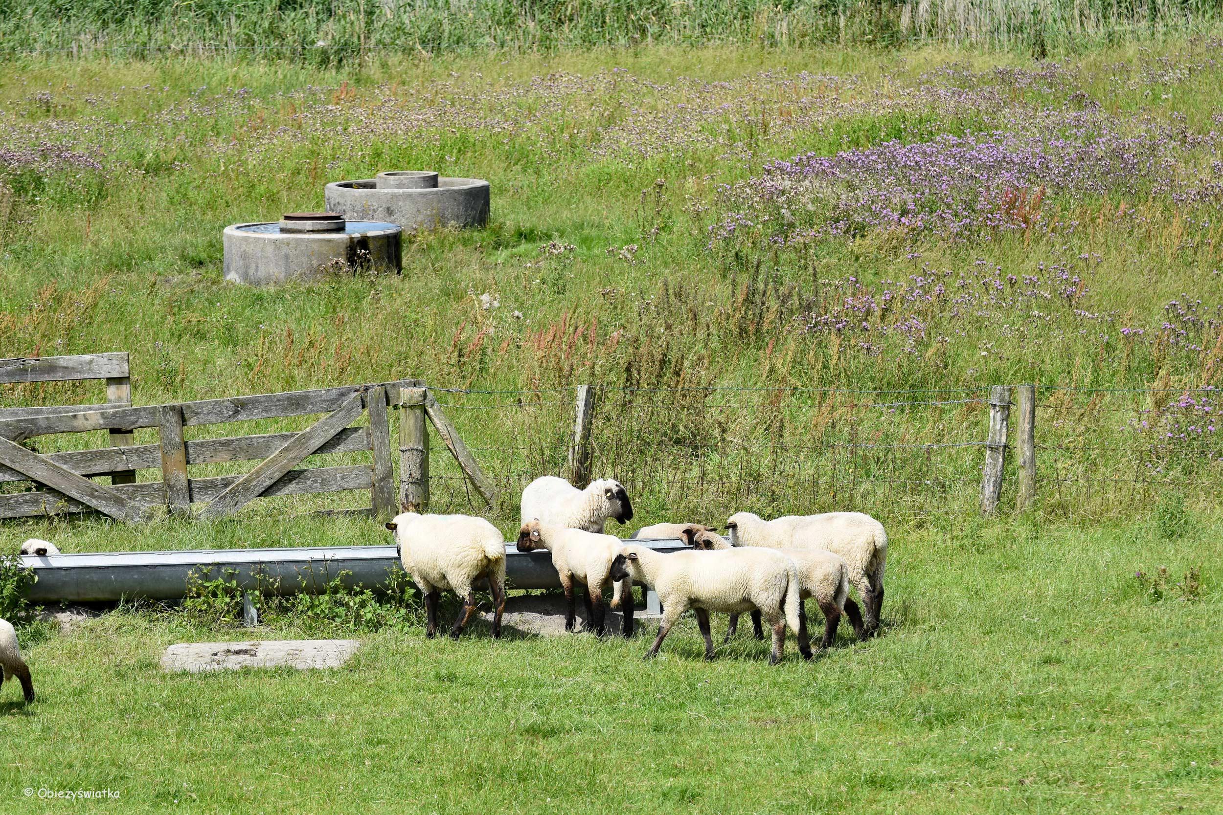 Owieczki u wodopoju :)