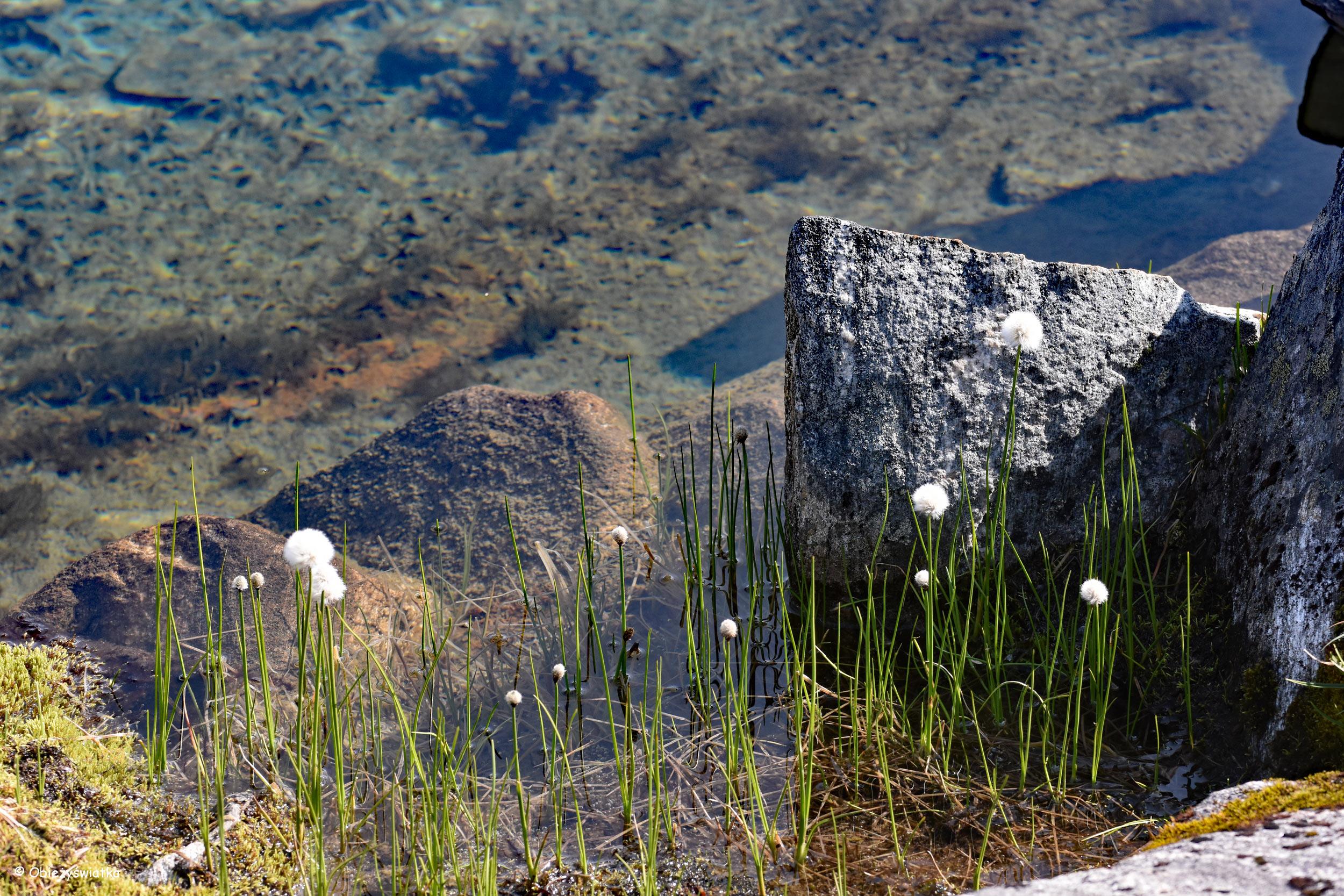 Wełniankowe gracje - Gamle Strynefjellsvegen, Norwegia