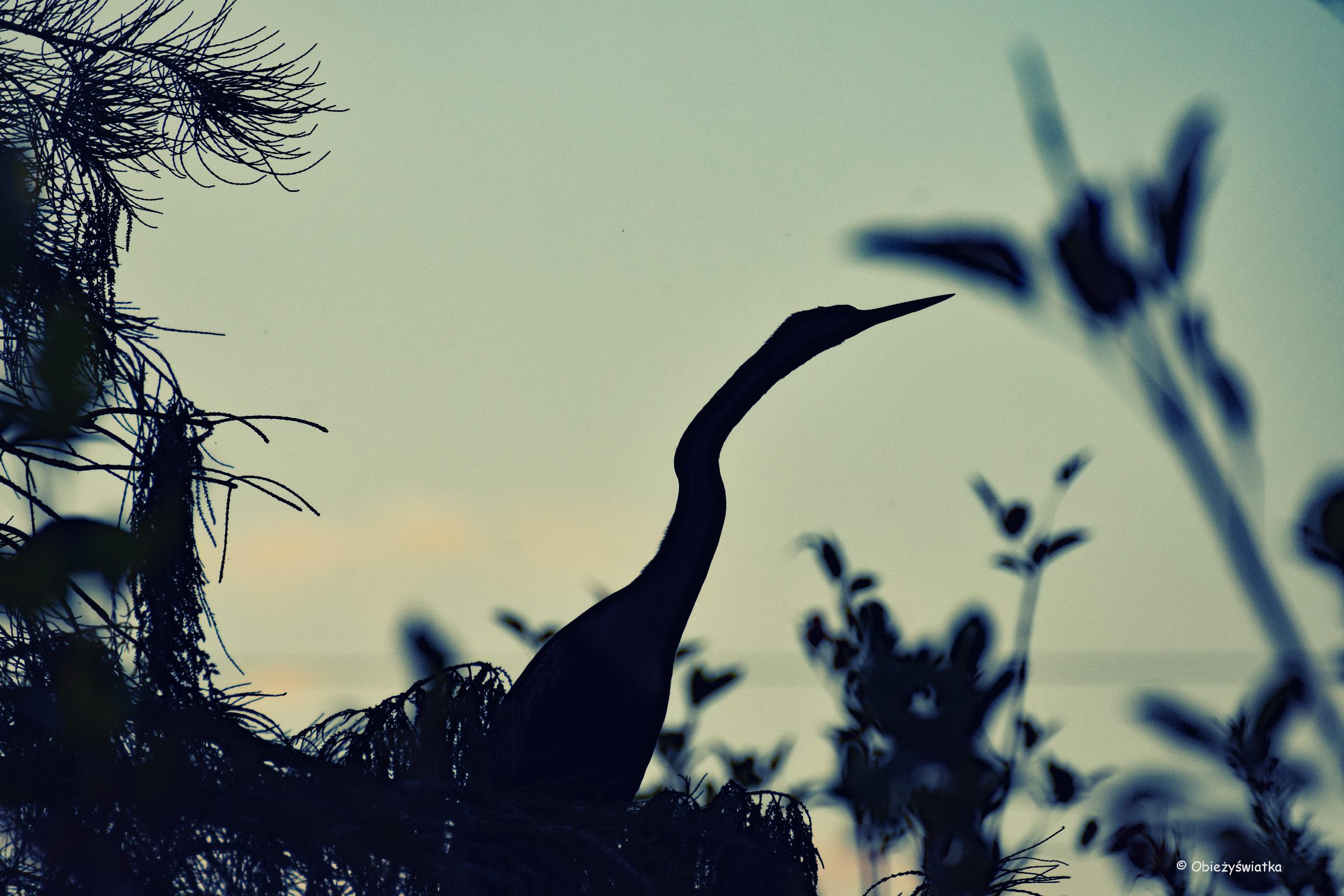 Wężówka, Everglades, Floryda
