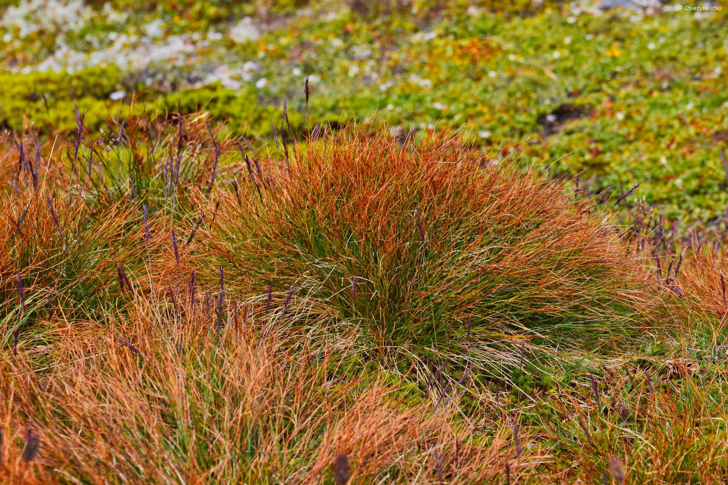 Rude trawy, Aurlandsfjellet, Norwegia