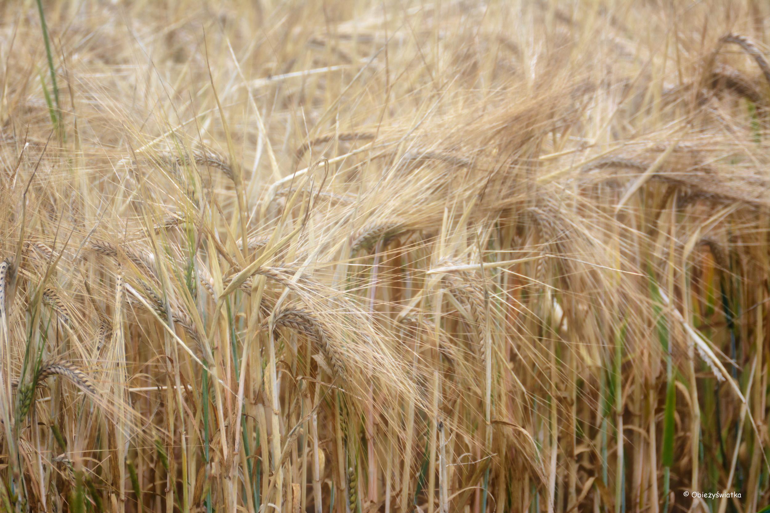 Wyzłacane pola - Tudeley, Wielka Brytania