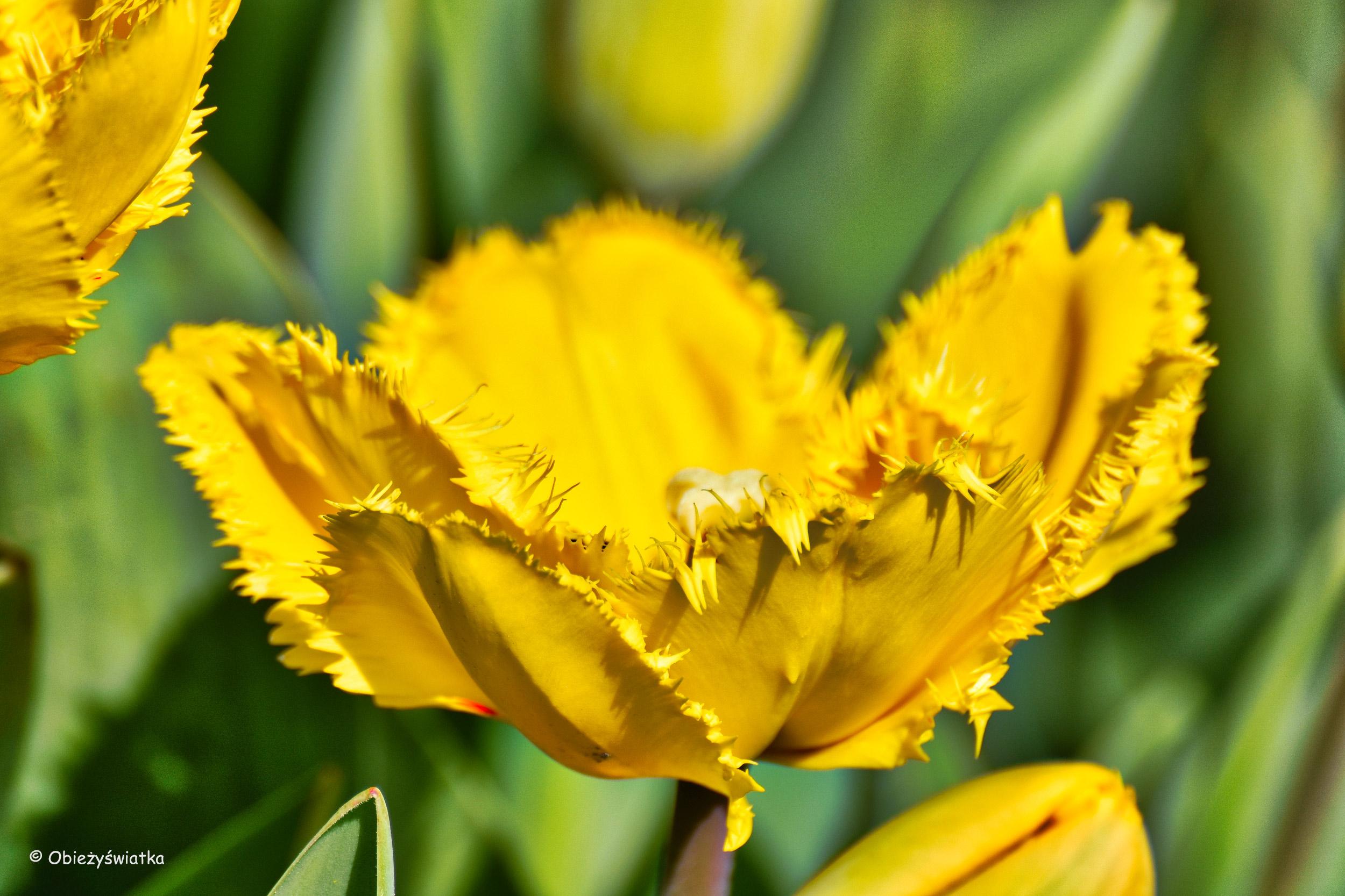 Tulipan Crystal Star