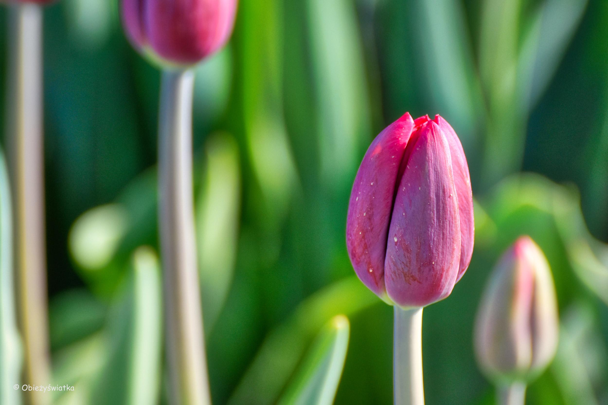 Klasyczny tulipan