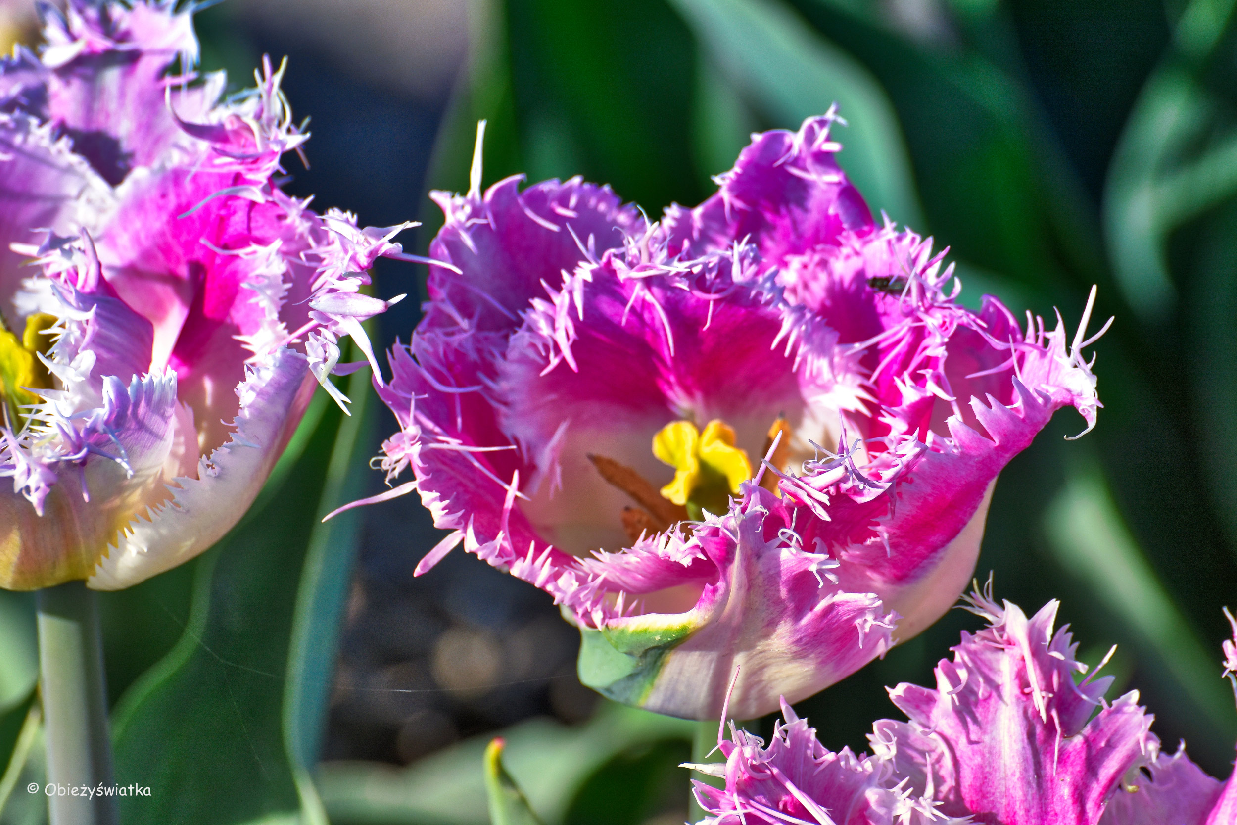 Tulipany - różne kształy, różne kolory....
