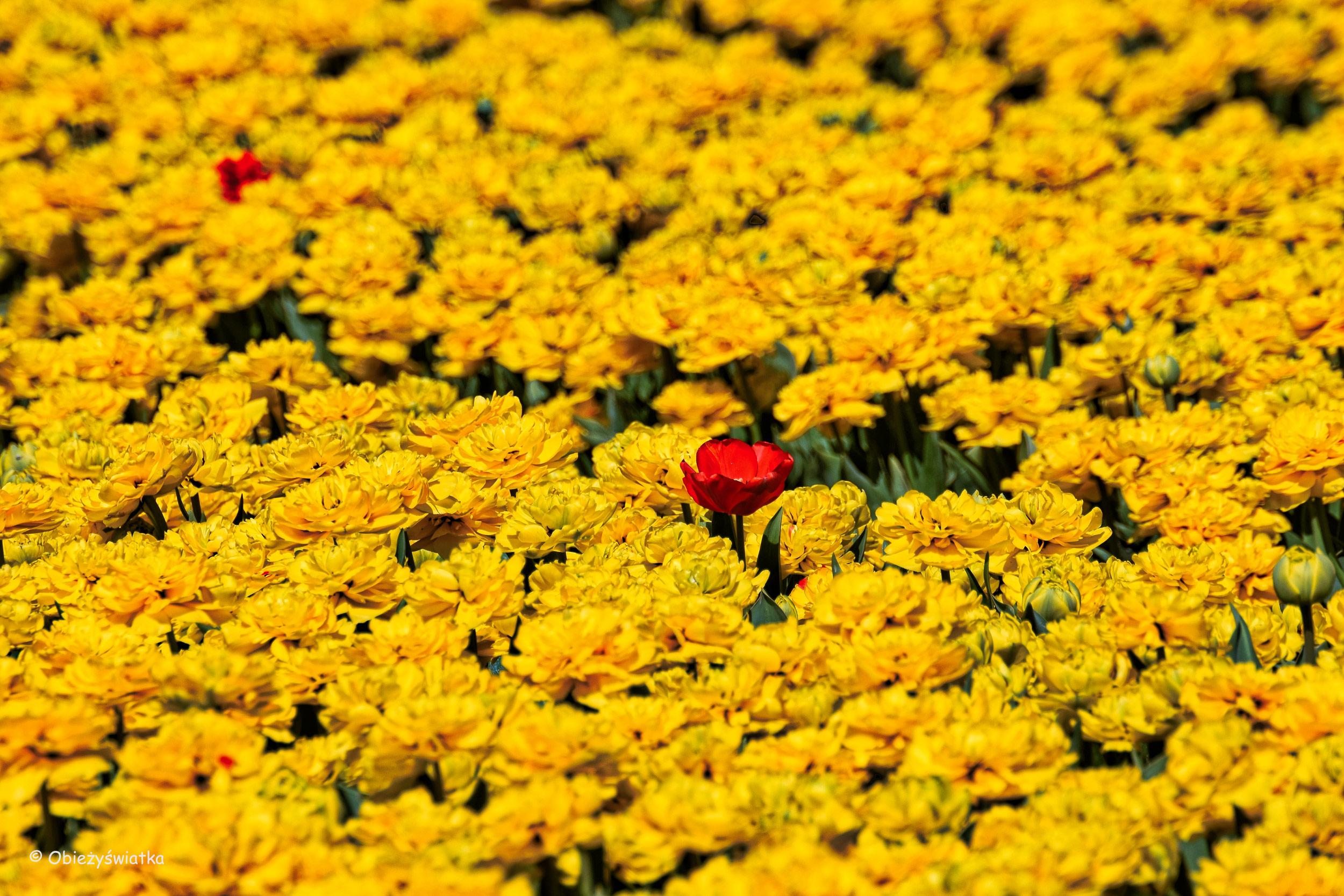 Tulipanowe pola w Holandii - wyjątek potwierdza regułę :)