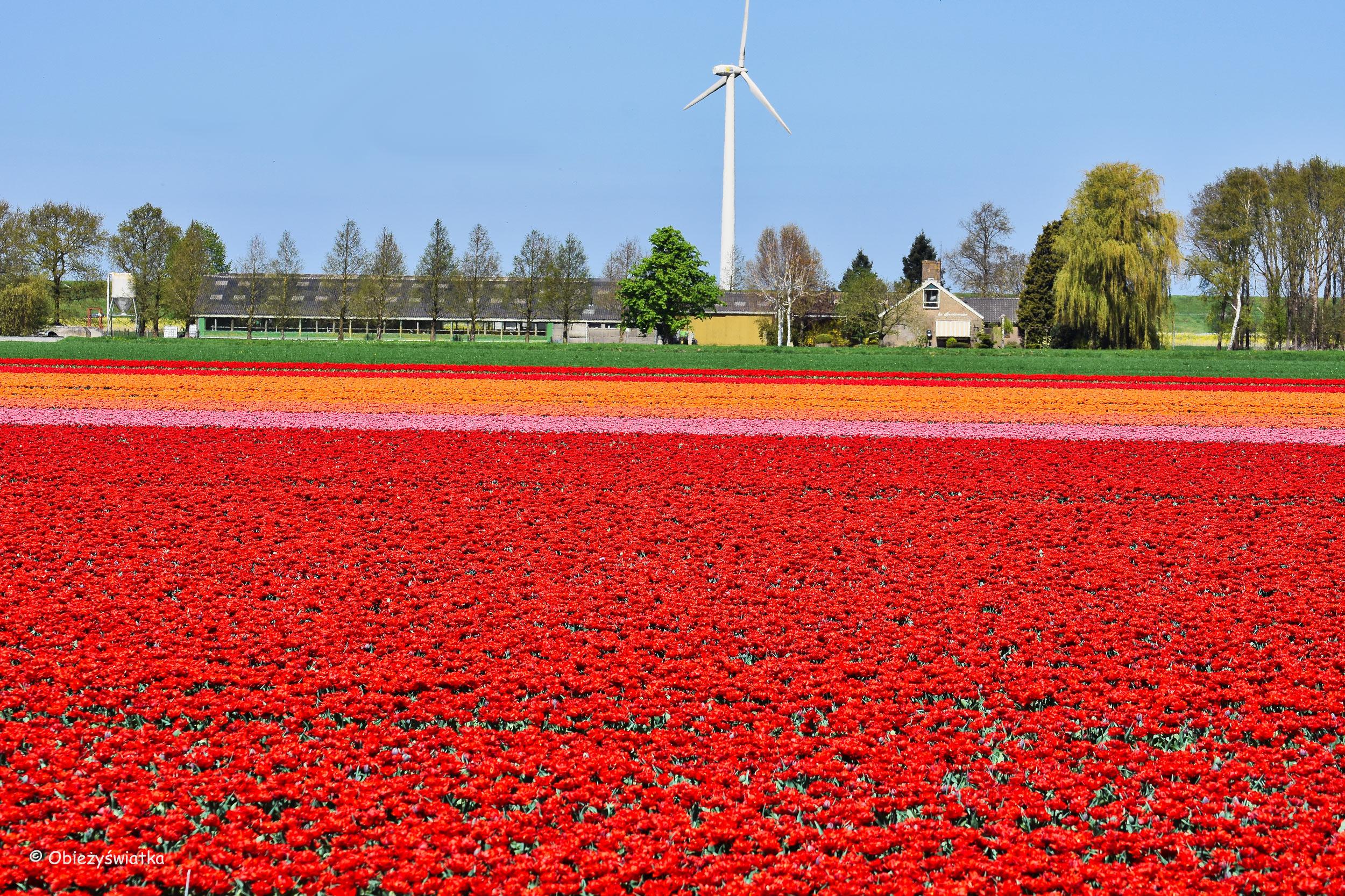 Tulipanowe pola w Holandii - na całej połaci... tulipany