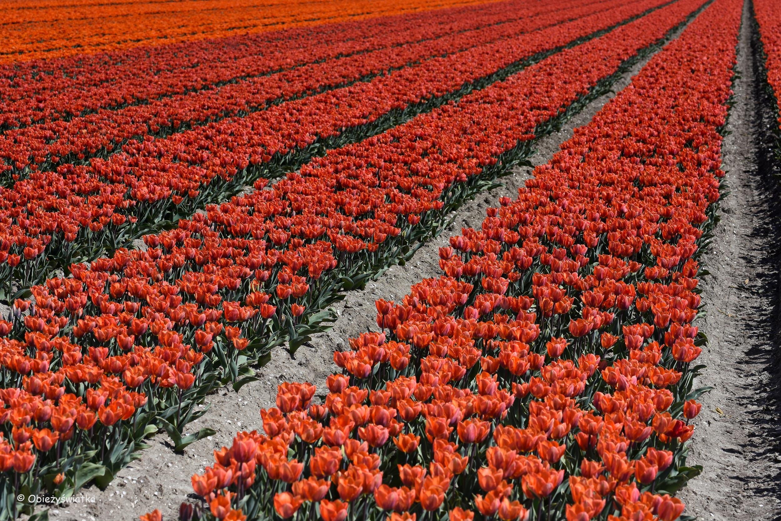 Tulipanowe pola w Holandii - równiutko, w rządkach...