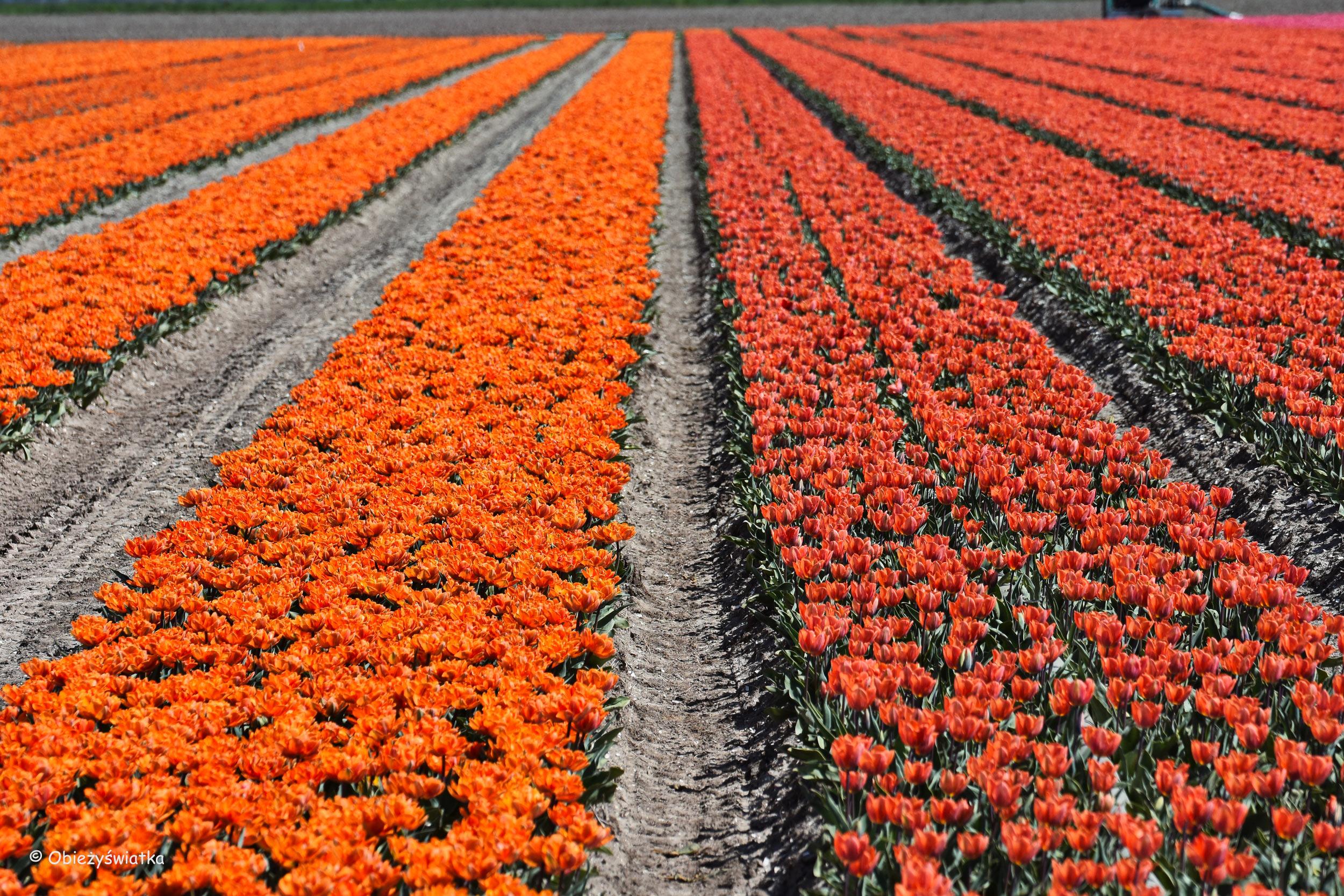 Tulipanowe pola w Holandii - na pomarańczowo