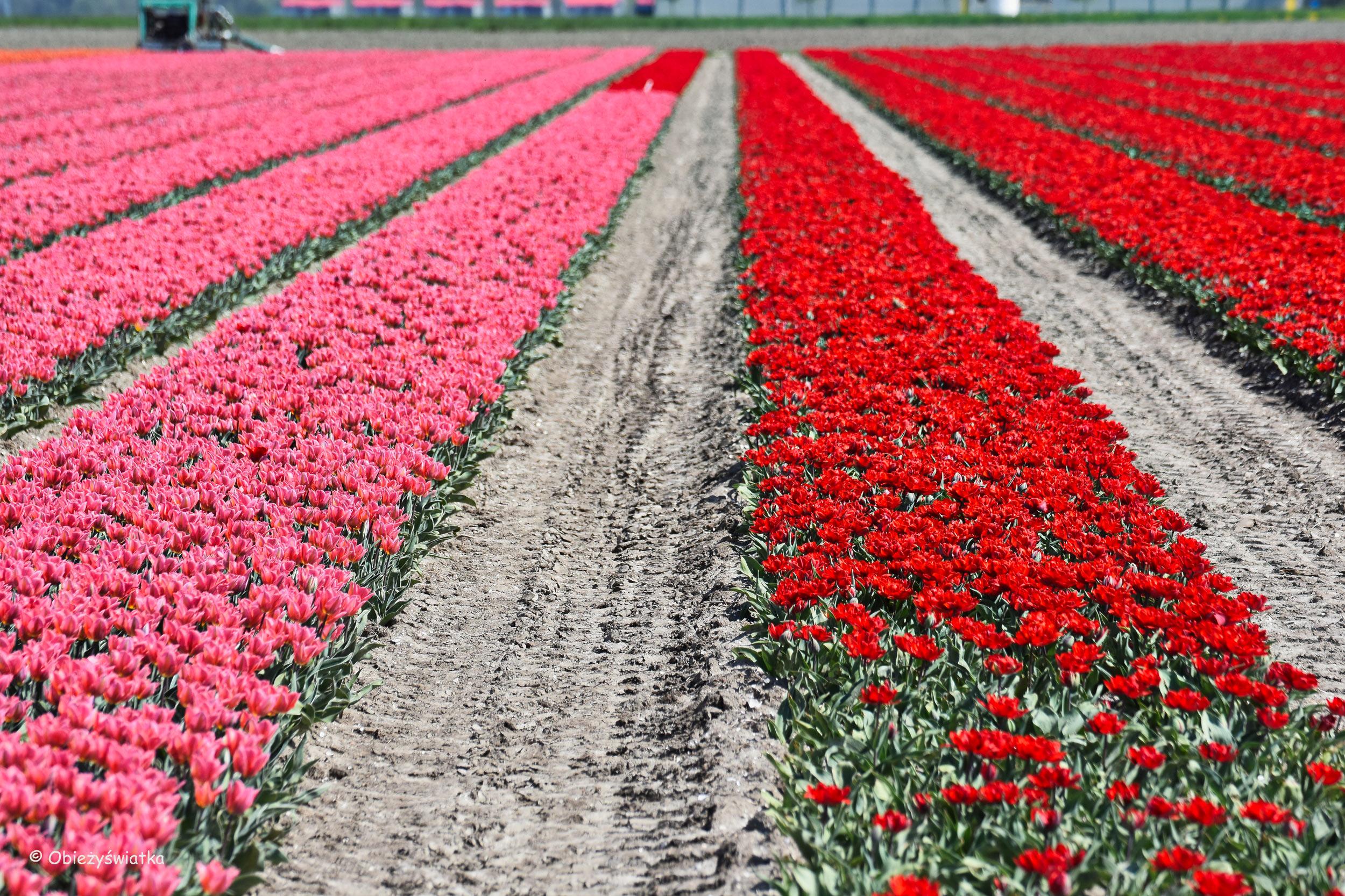 Tulipanowe pola w Holandii - dwukolorowo