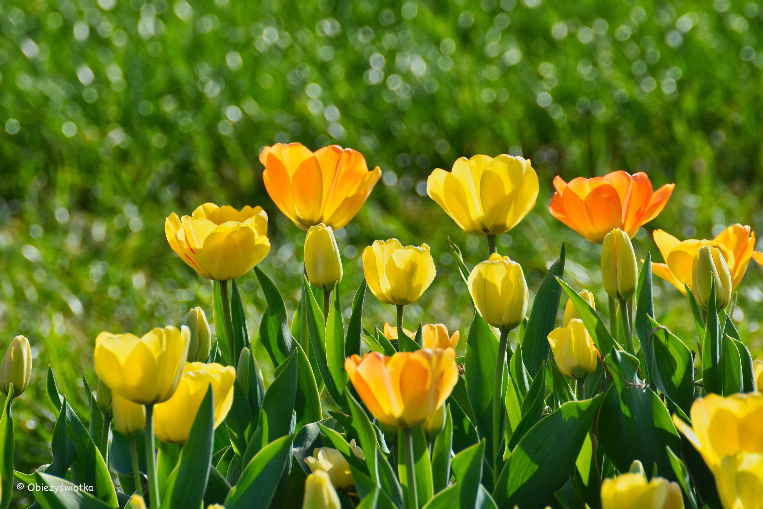 Tulipanowe pola w Holandii - pełne słońca