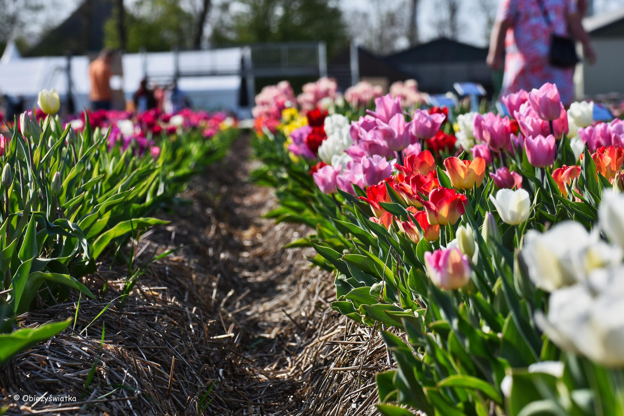 Tulipanowe pola w Holandii - do wyboru, do koloru