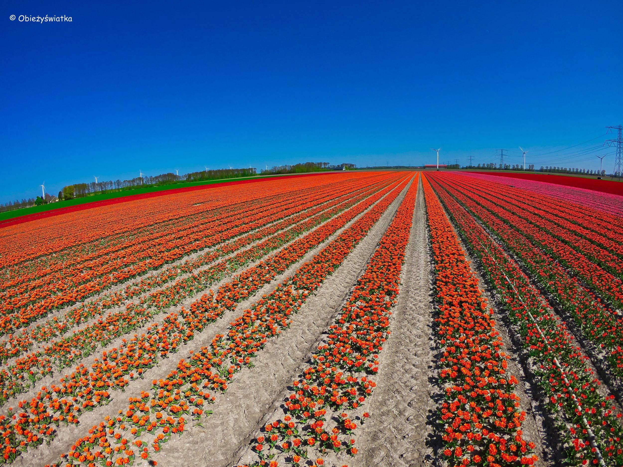Tulipanowe żniwa :)