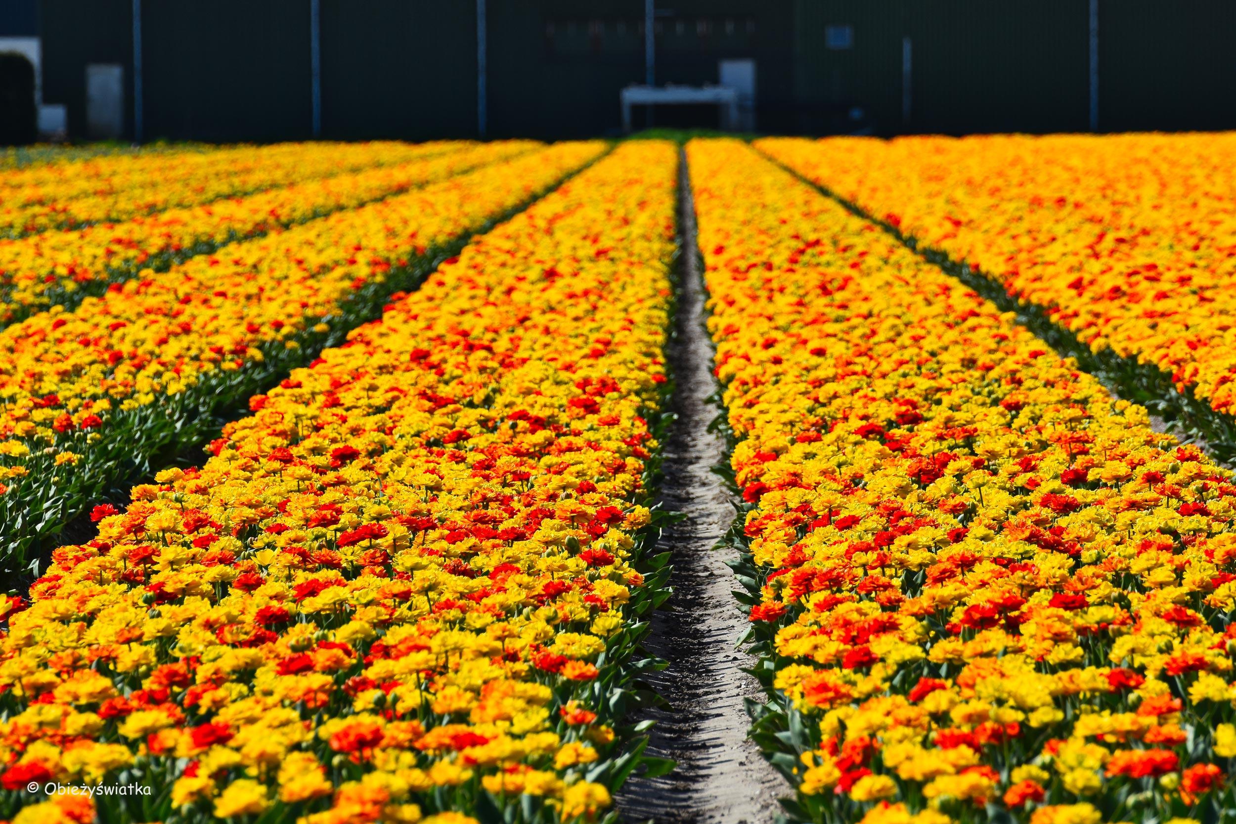 Holandia i tulipany!