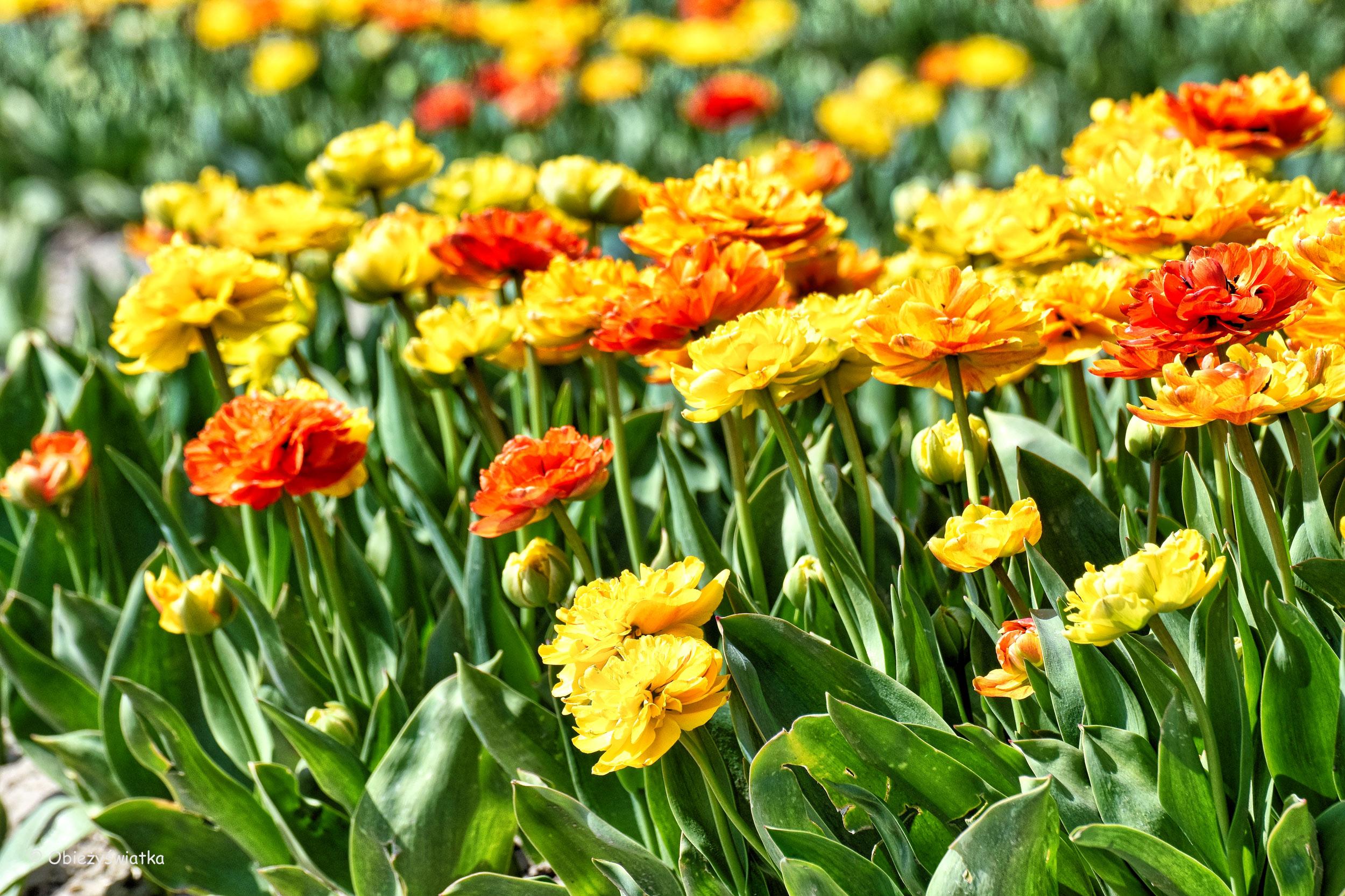 Pola w tulipanach, Holandia