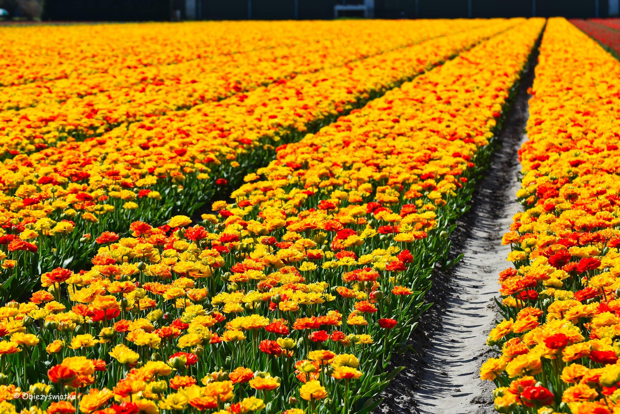 ulipanowe pola - żółty wygrywa :)