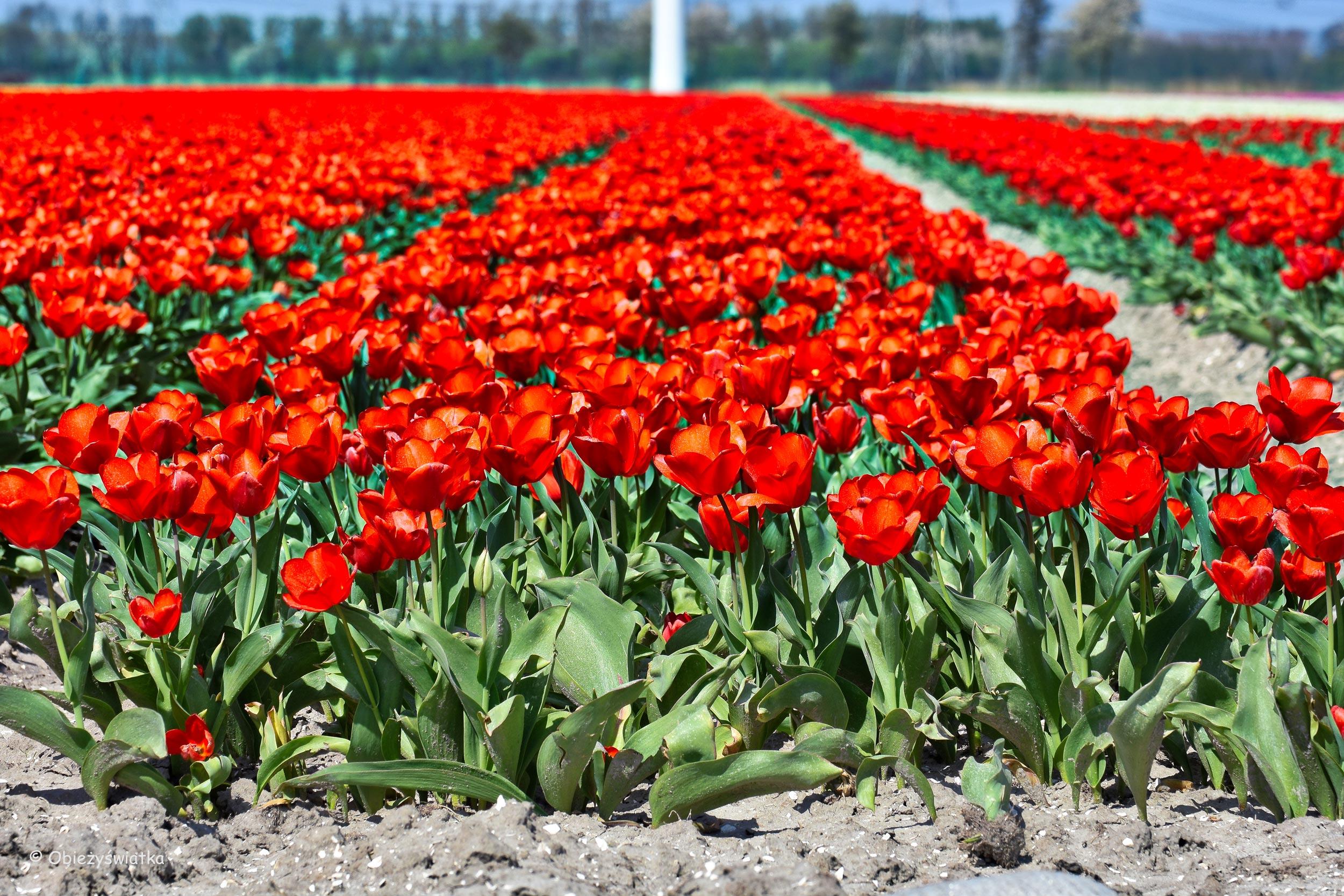 ulipanowe pola - czerwieni pod dostatkiem ;)
