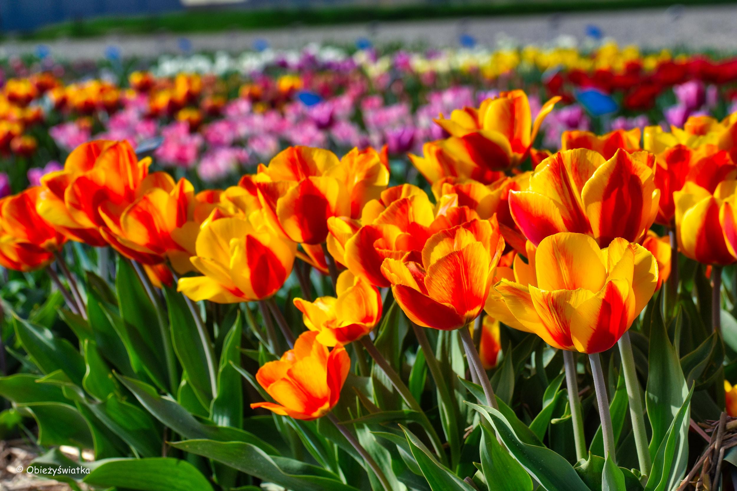 Tulipany!