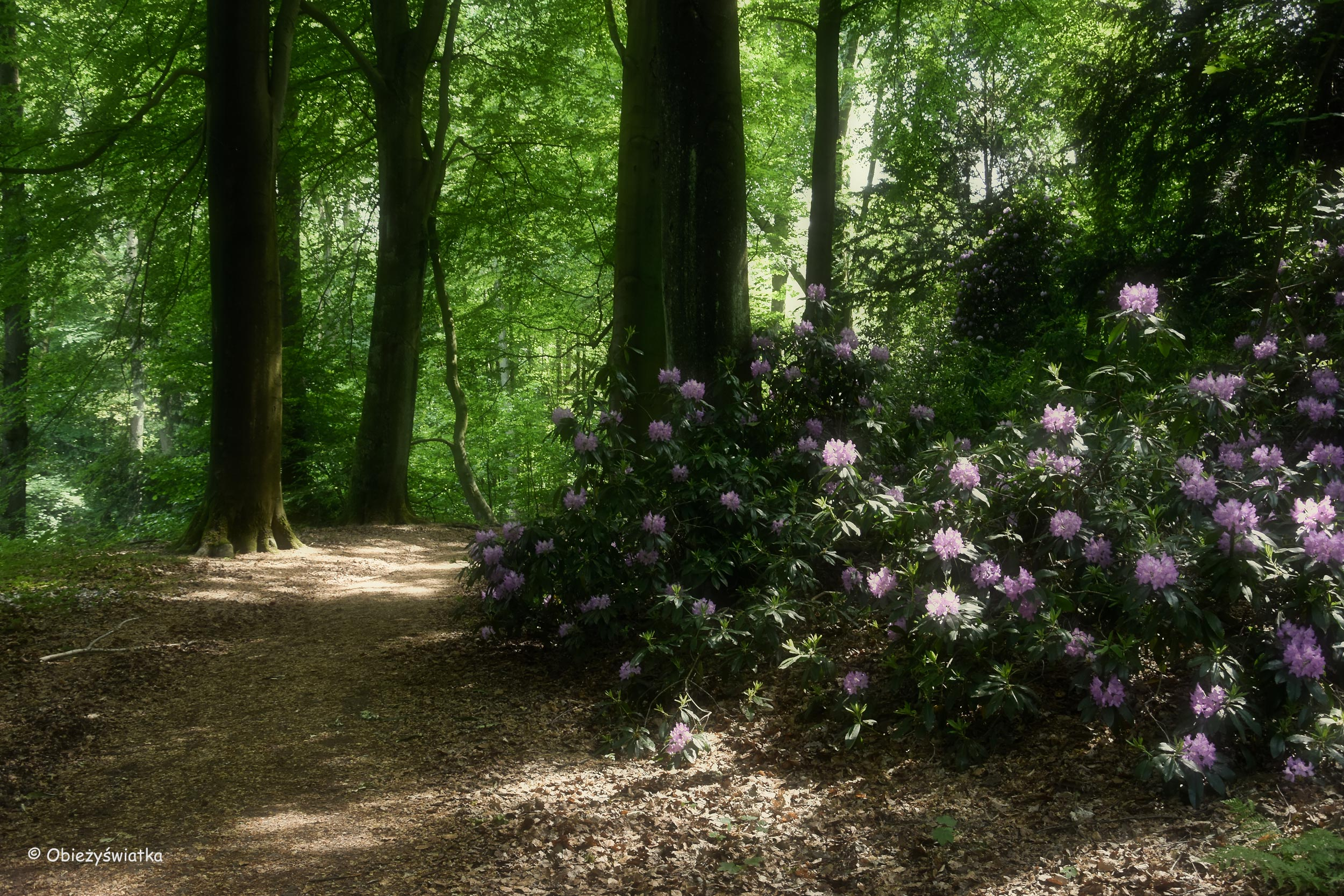 I piękne leśne drogi wśród rododendronów, Baldeneysteig, Essen