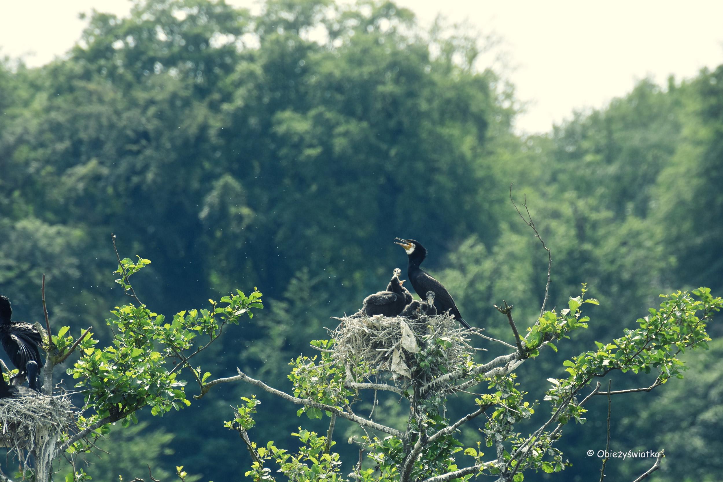 Pisklęta kormoranów nad rzeką Ruhr w Essen, NRW