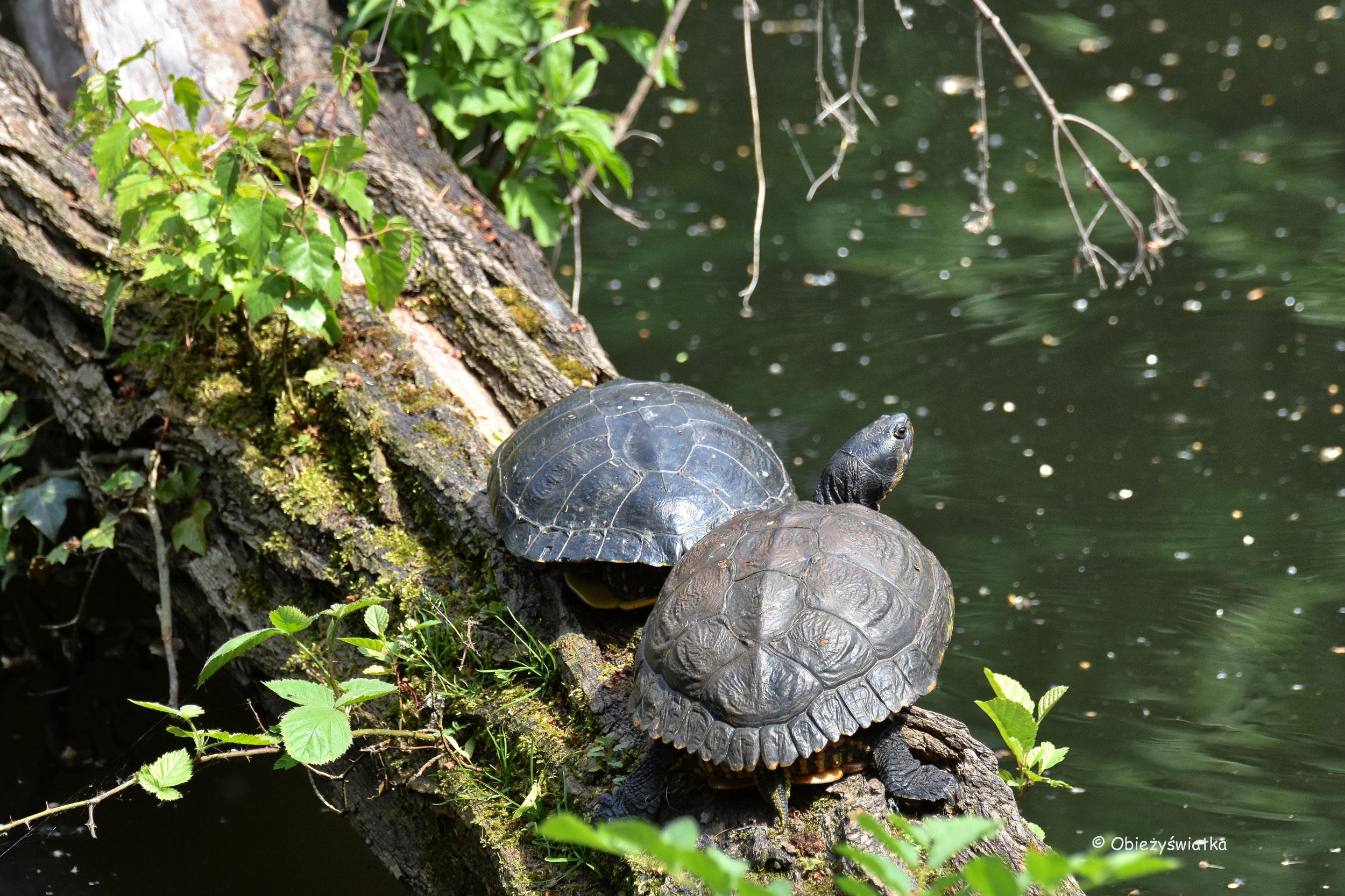 Żółwie nad rzeką Ruhr, Essen