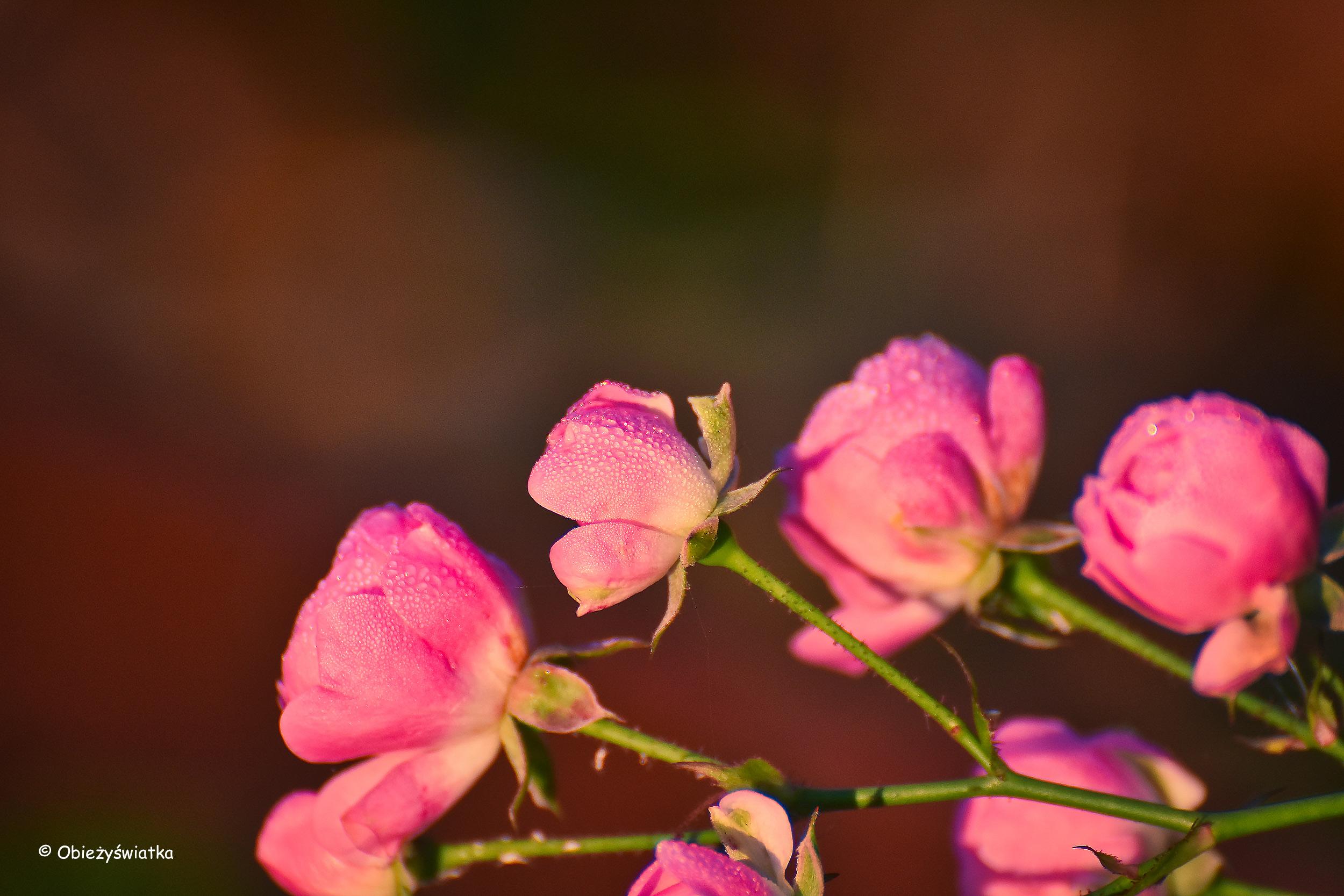 Róże w promieniach wschodzącego listopadowego słońca