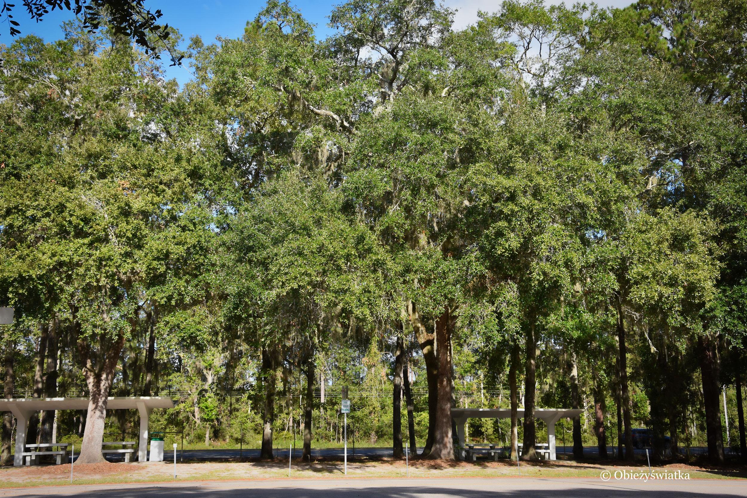 Na południu Stanów Zjednoczonych - drzewa z hiszpańskim mchem