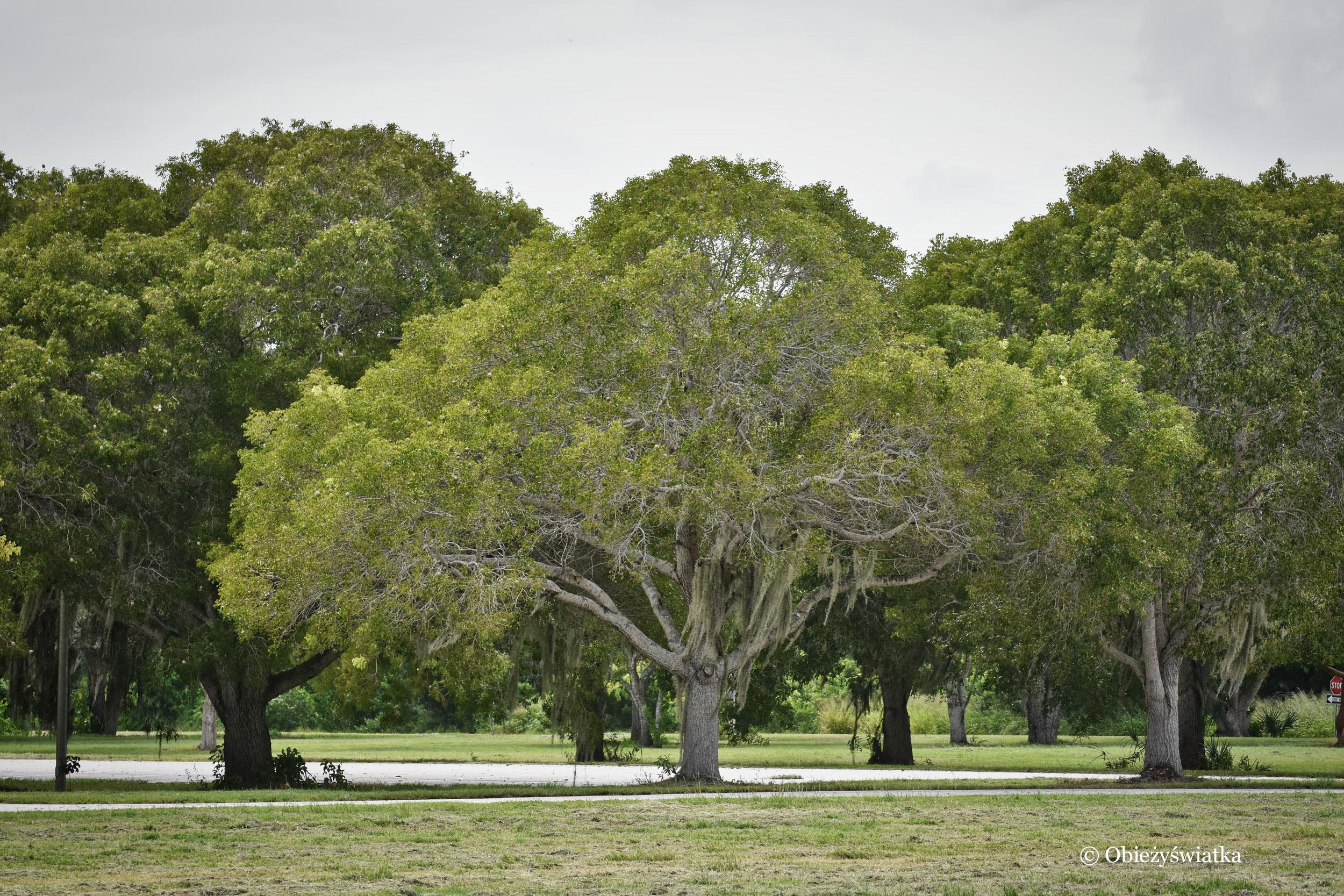 Drzewa z hiszpańskim mchem, USA