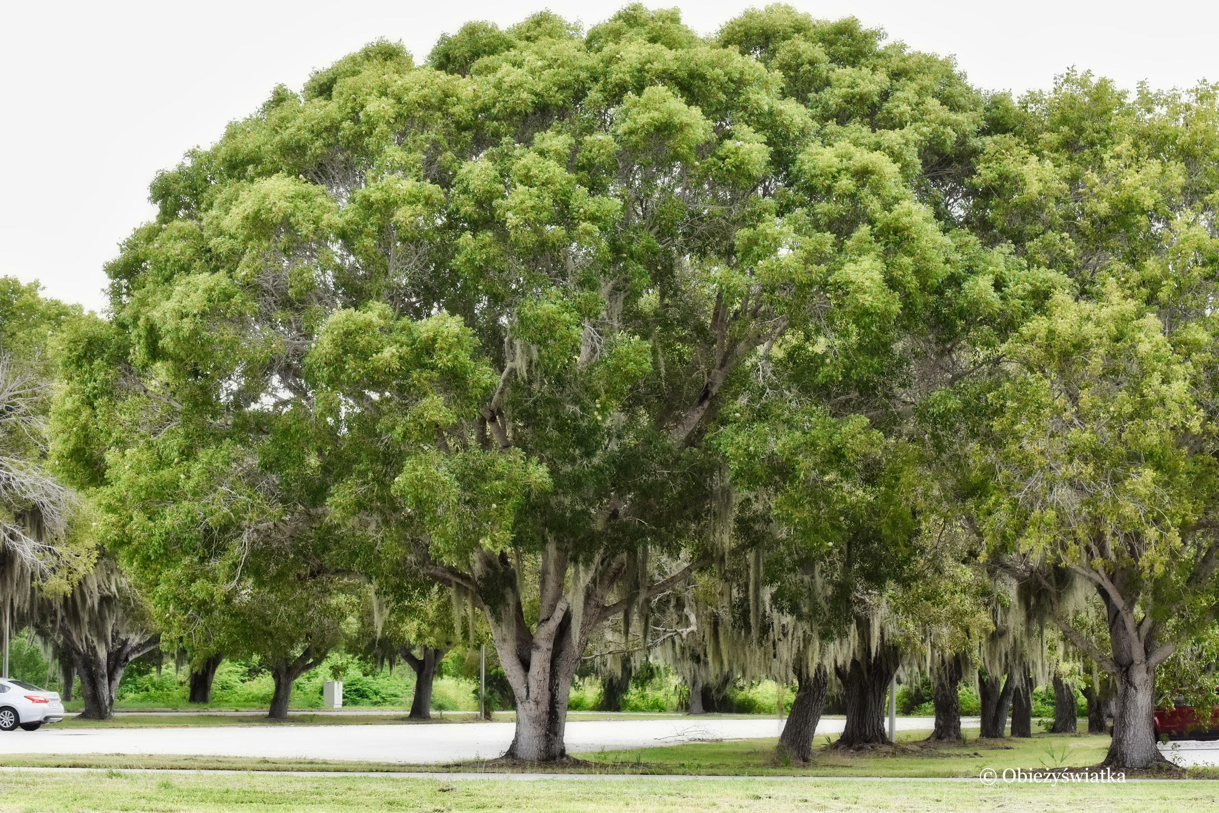 Drzewa otulone hiszpańskim mchem, USA