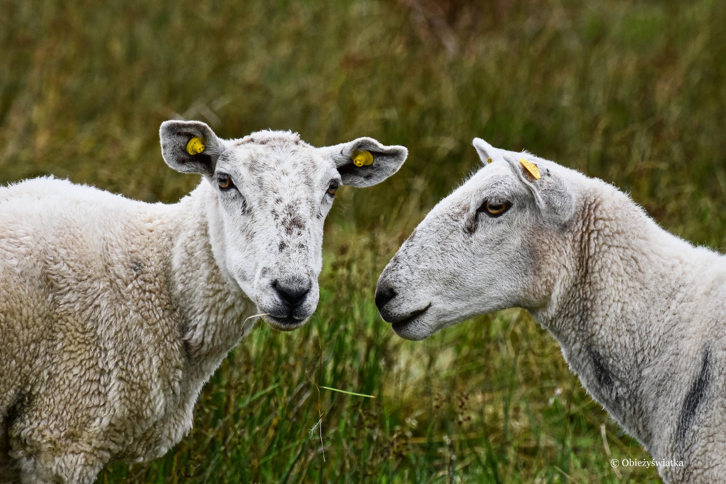 Irlandzkie owieczki, Killybegs