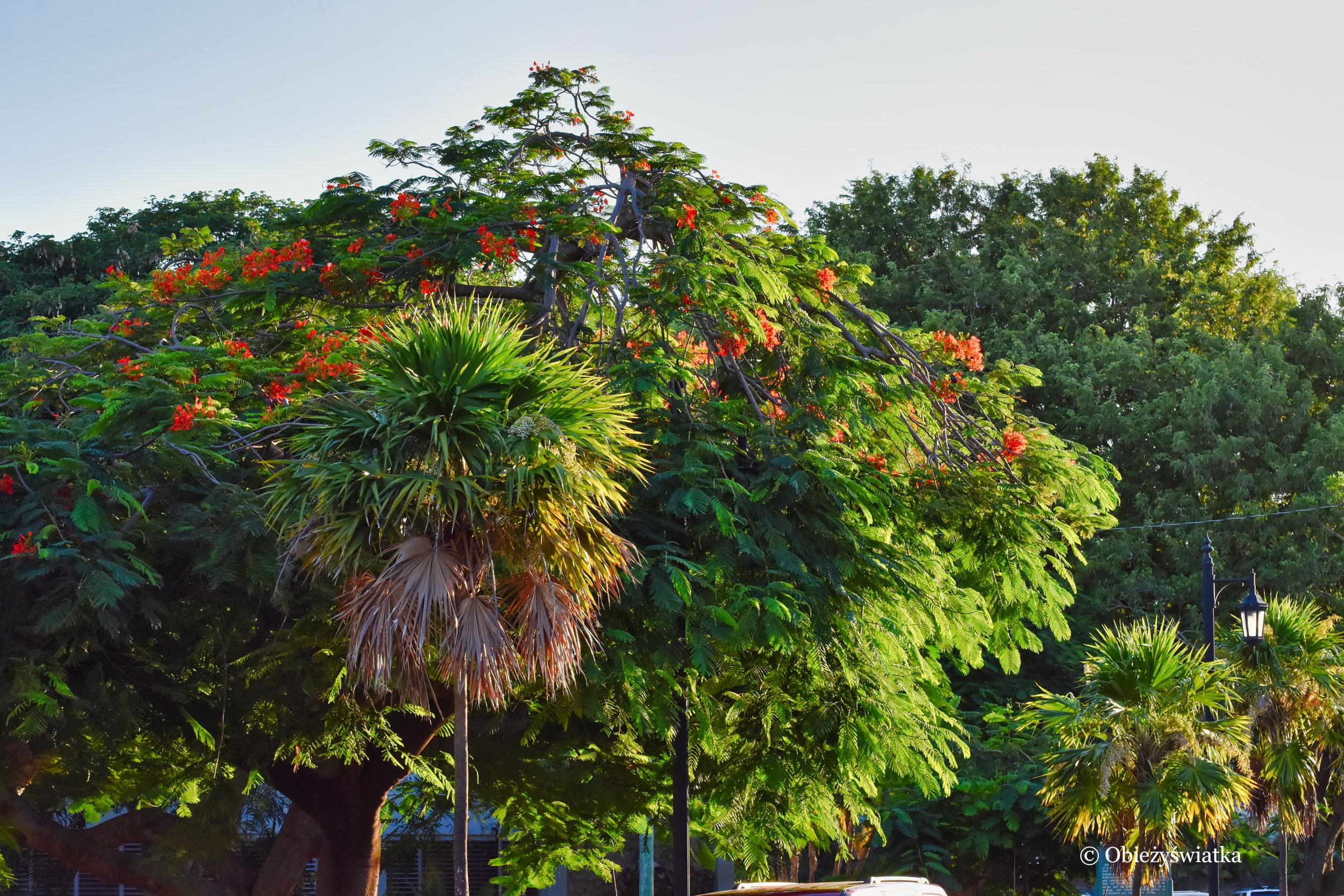 Płomień Afryki na archipelagu Florida Keys