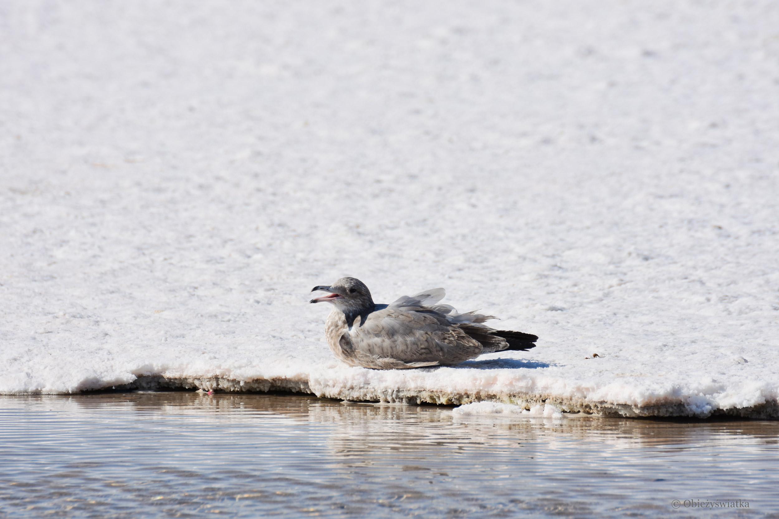 Moja przyjaciółka Mewa, Great Salt Lake Desert