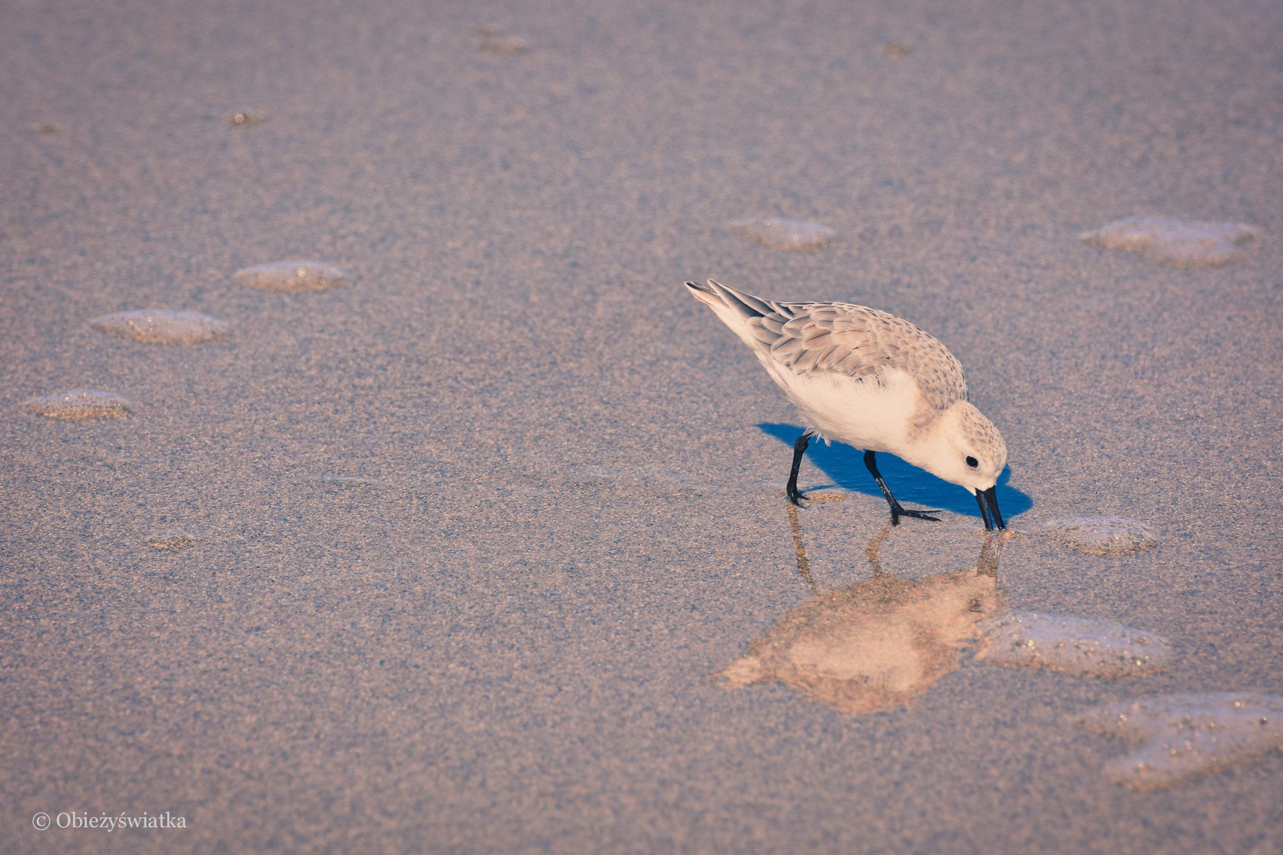 Cocoa Beach, W poszukiwaniu pożywienia
