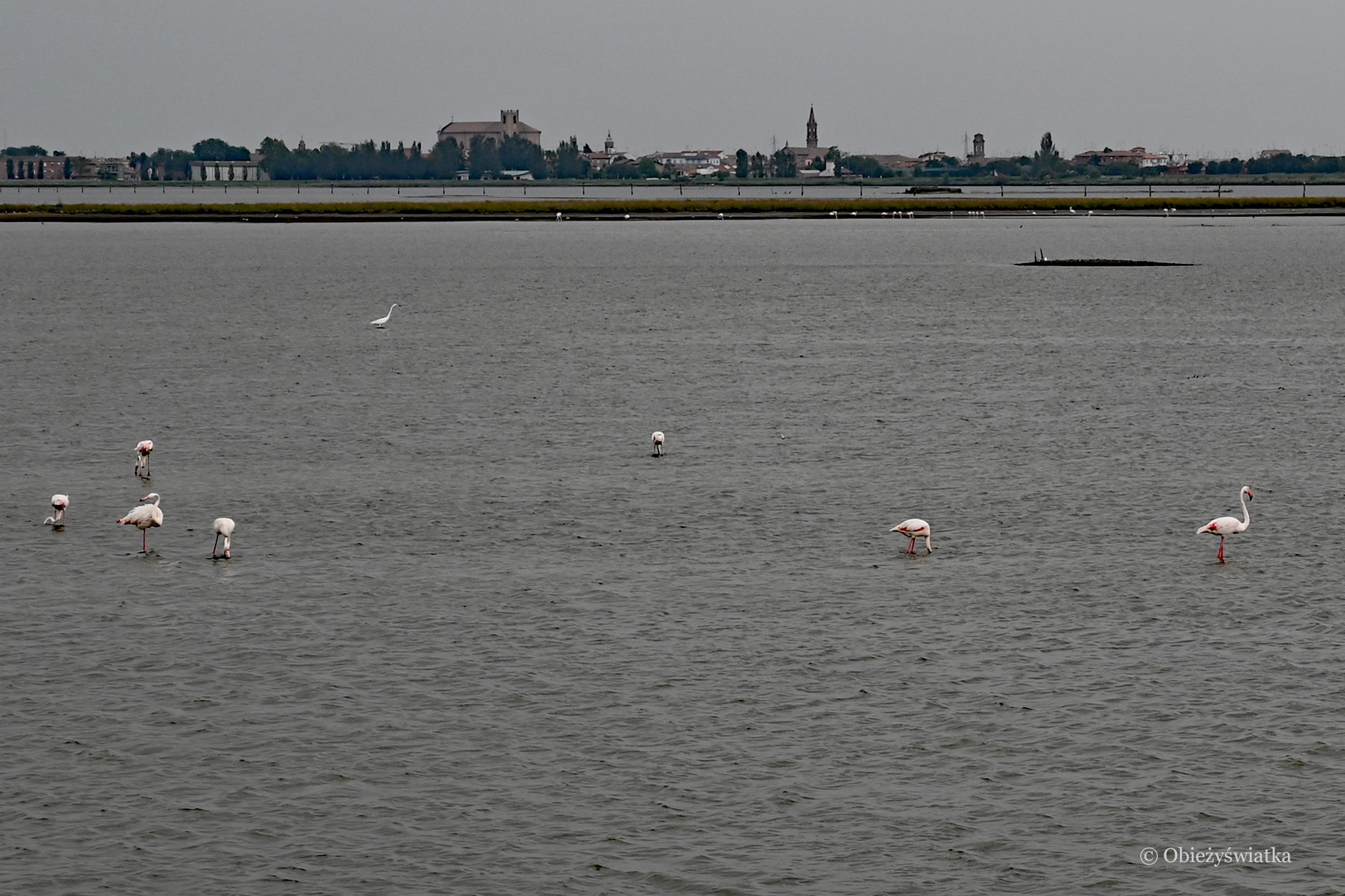 Flamingi, Comacchio i Pad, Włochy