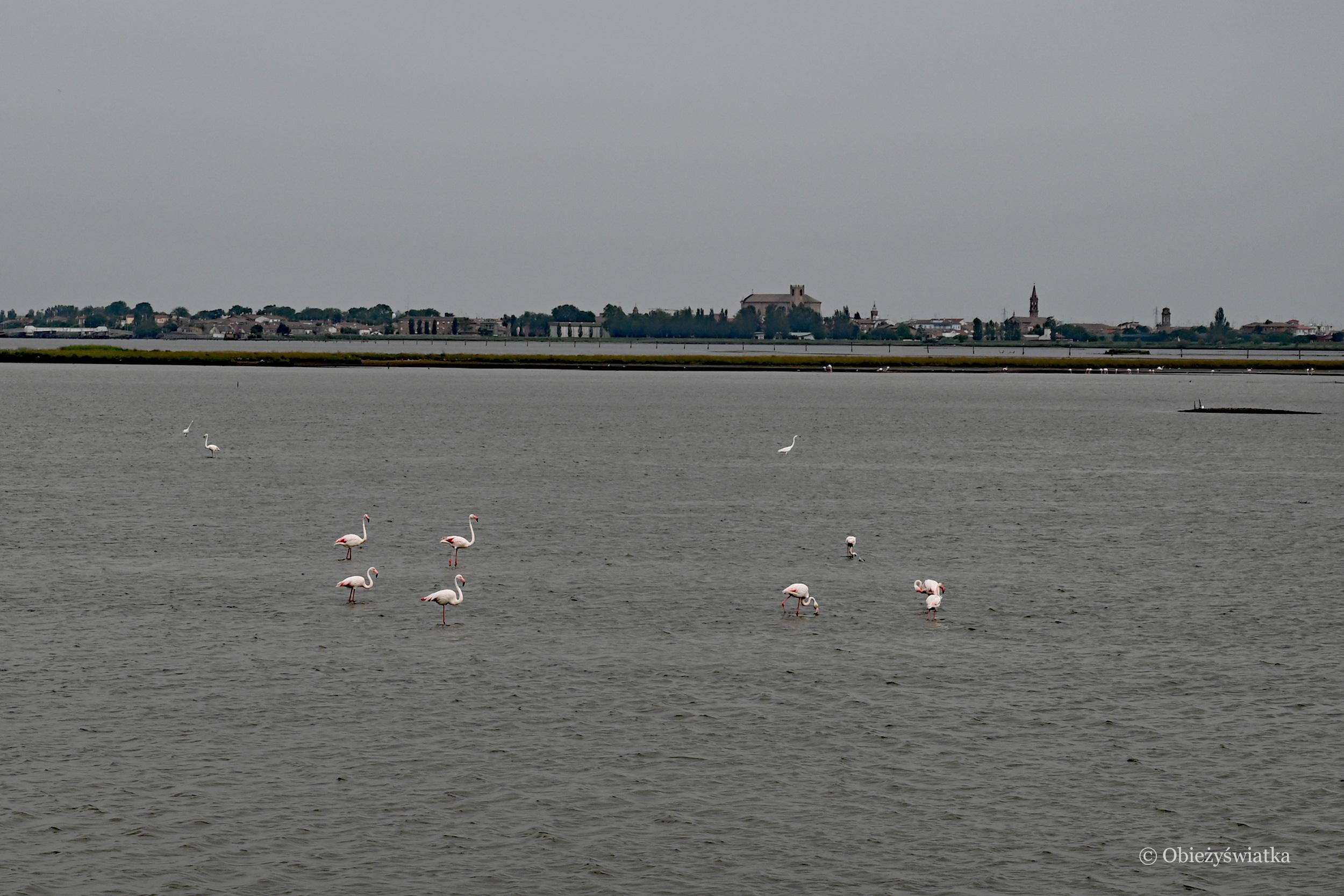 Flamingi w Comacchio, Włochy