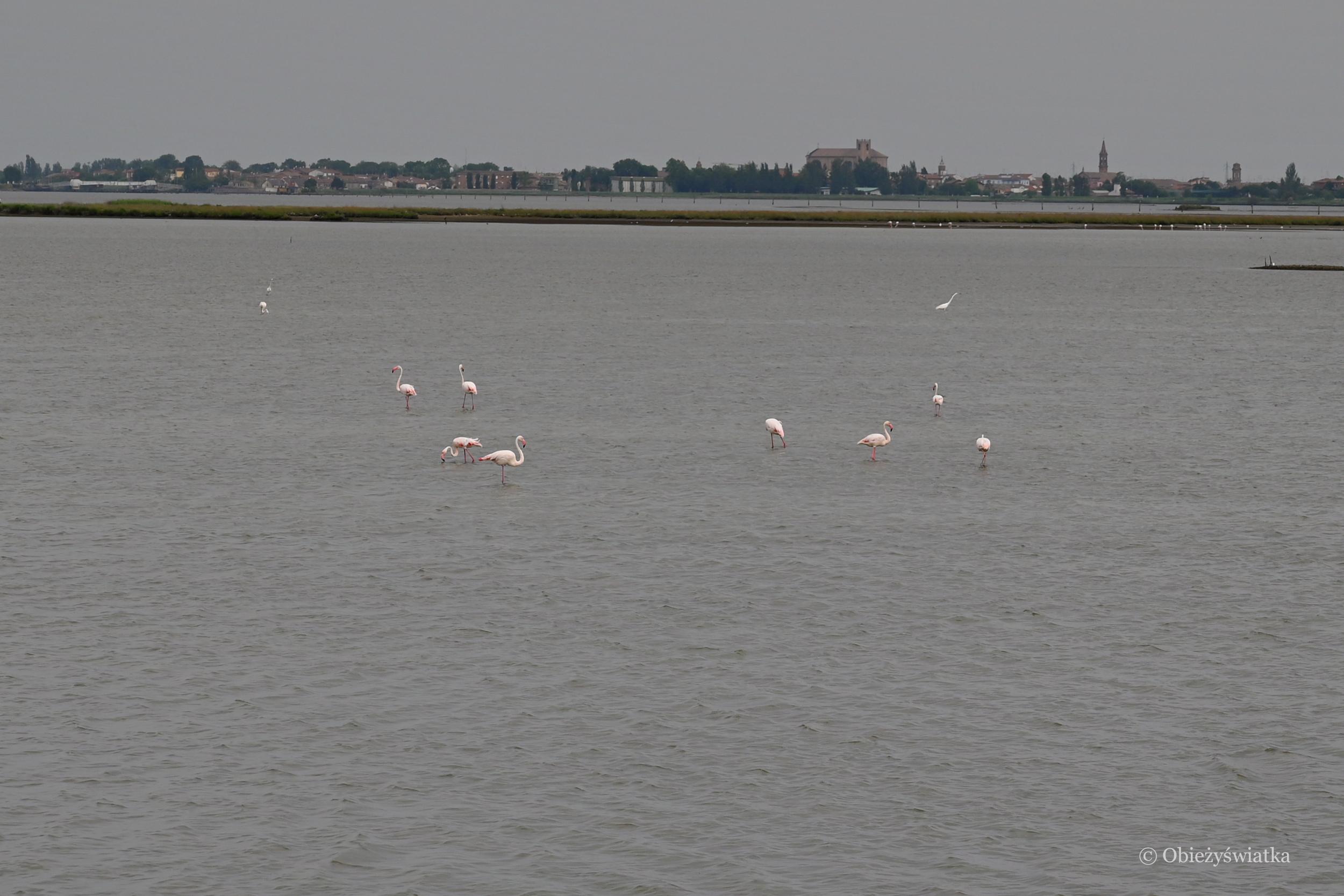 Flamingi w Comacchio, Delta Padu, Włochy