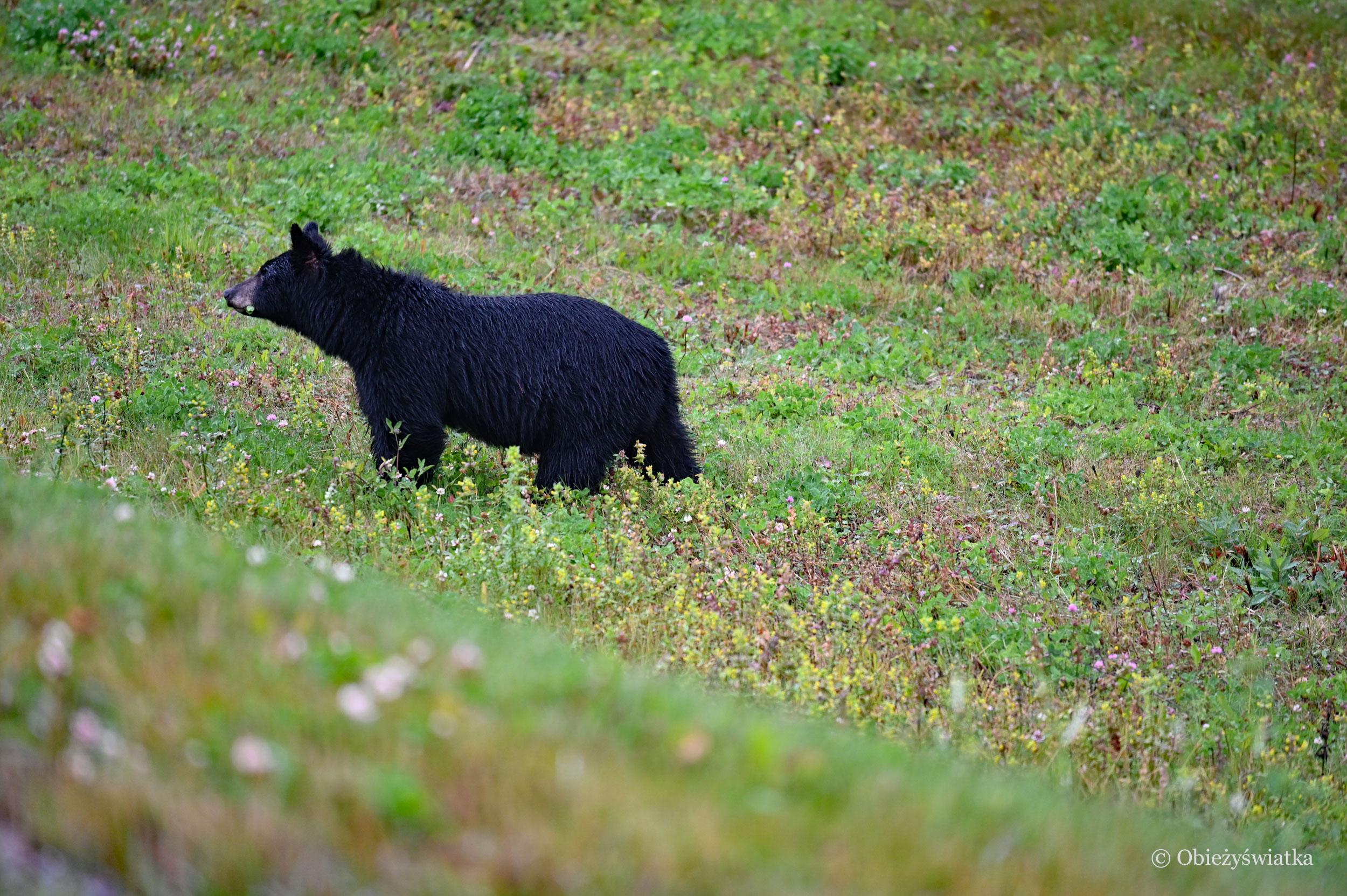 Napotkany po drodze - niedźwiedź czarny, Kanada