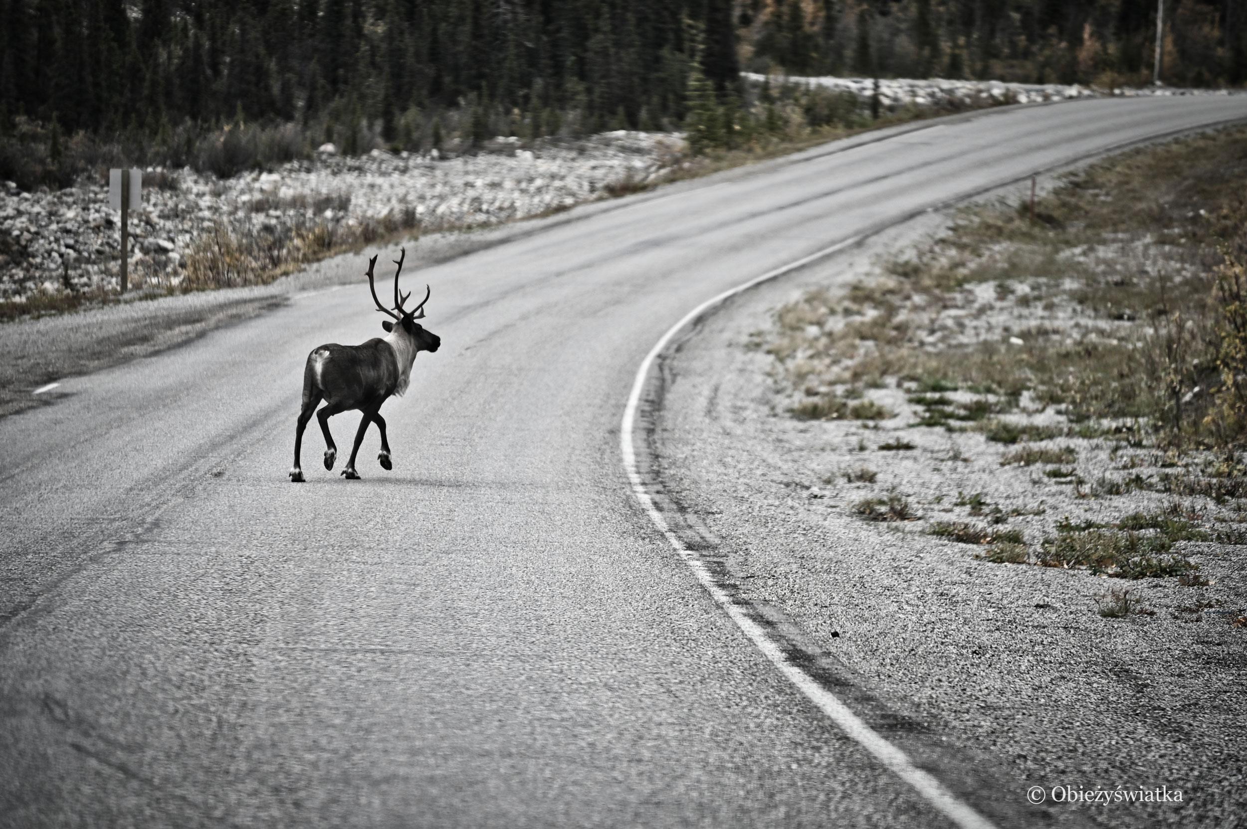 Karibu / renifer na drodze - Alaska Highway, Kanada