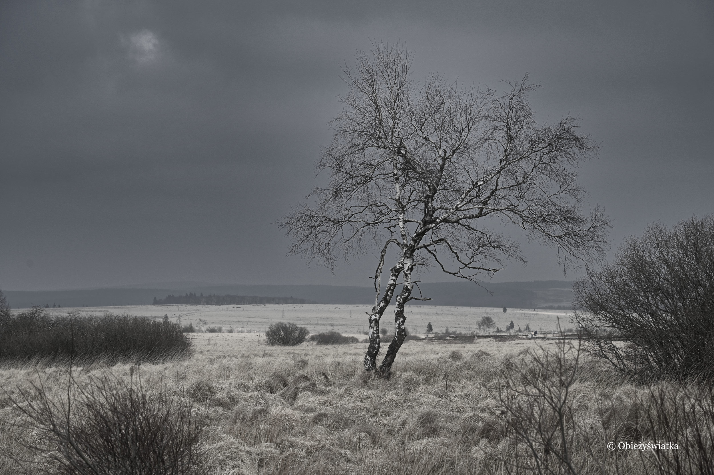 Samotne drzewo - Hohes Venn, Belgia
