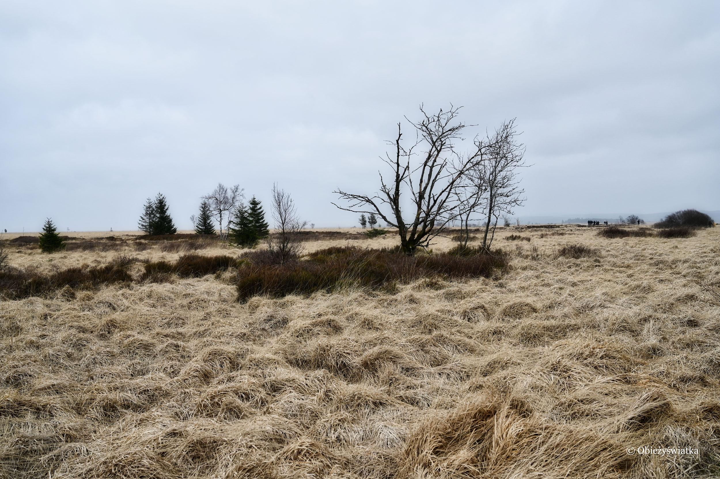 Miękkie trawy i pojedyncze drzewa - typowy krajobraz Hohes Venn, Belgia