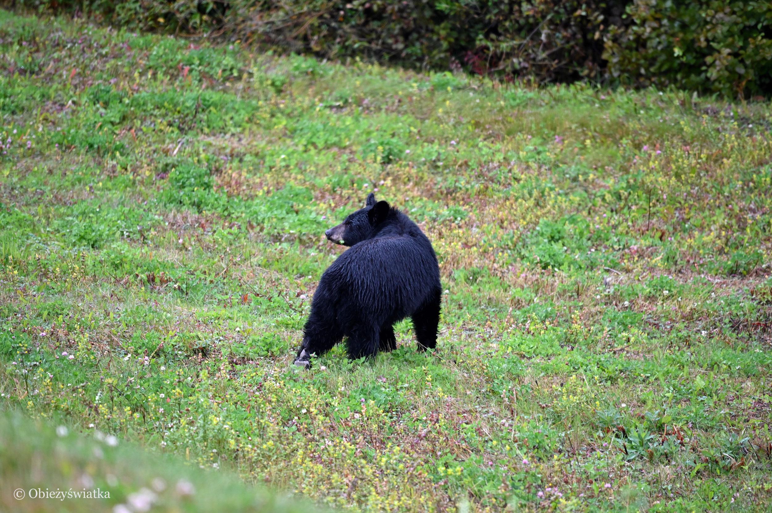 Niedźwiedź czarny w Kanadzie, Alaska Highway