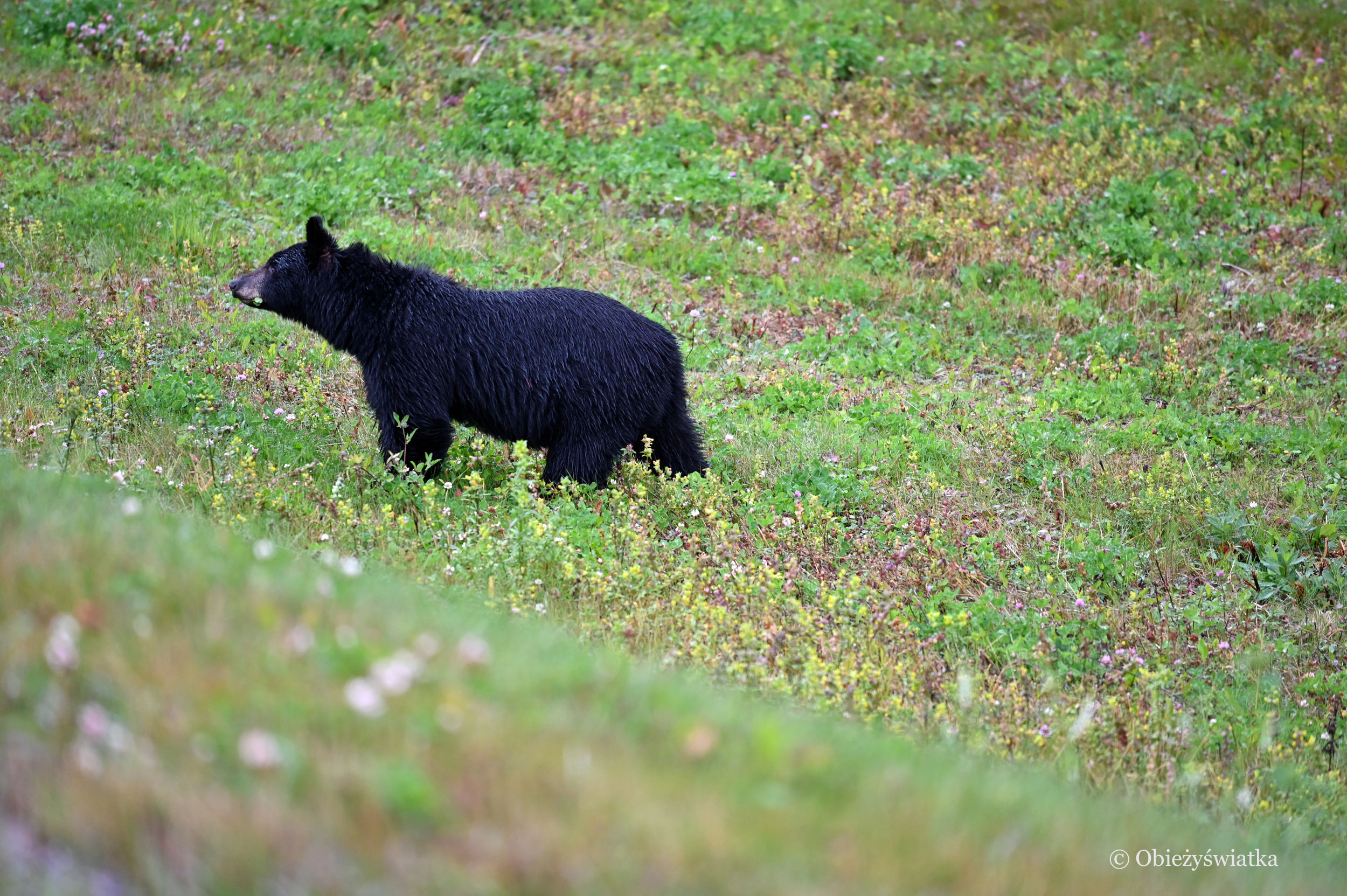 Niedźwiedź czarny, Alaska Highway, Kanada