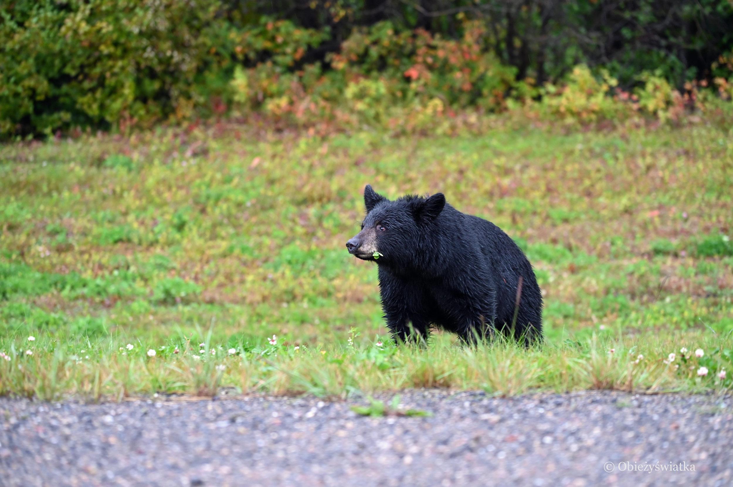 Proszę państwa, oto miś :) - napotkany na drodze Alaska Highway, Kanada