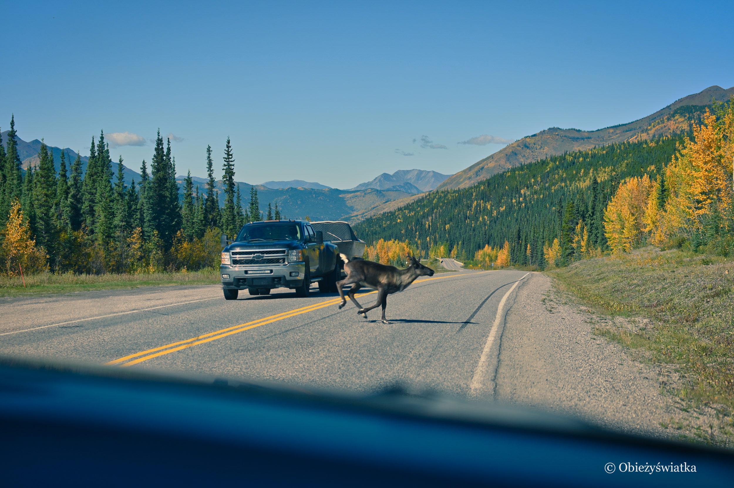 Uwaga na zwierzęta na drodze - Alaska Highway, Kanada